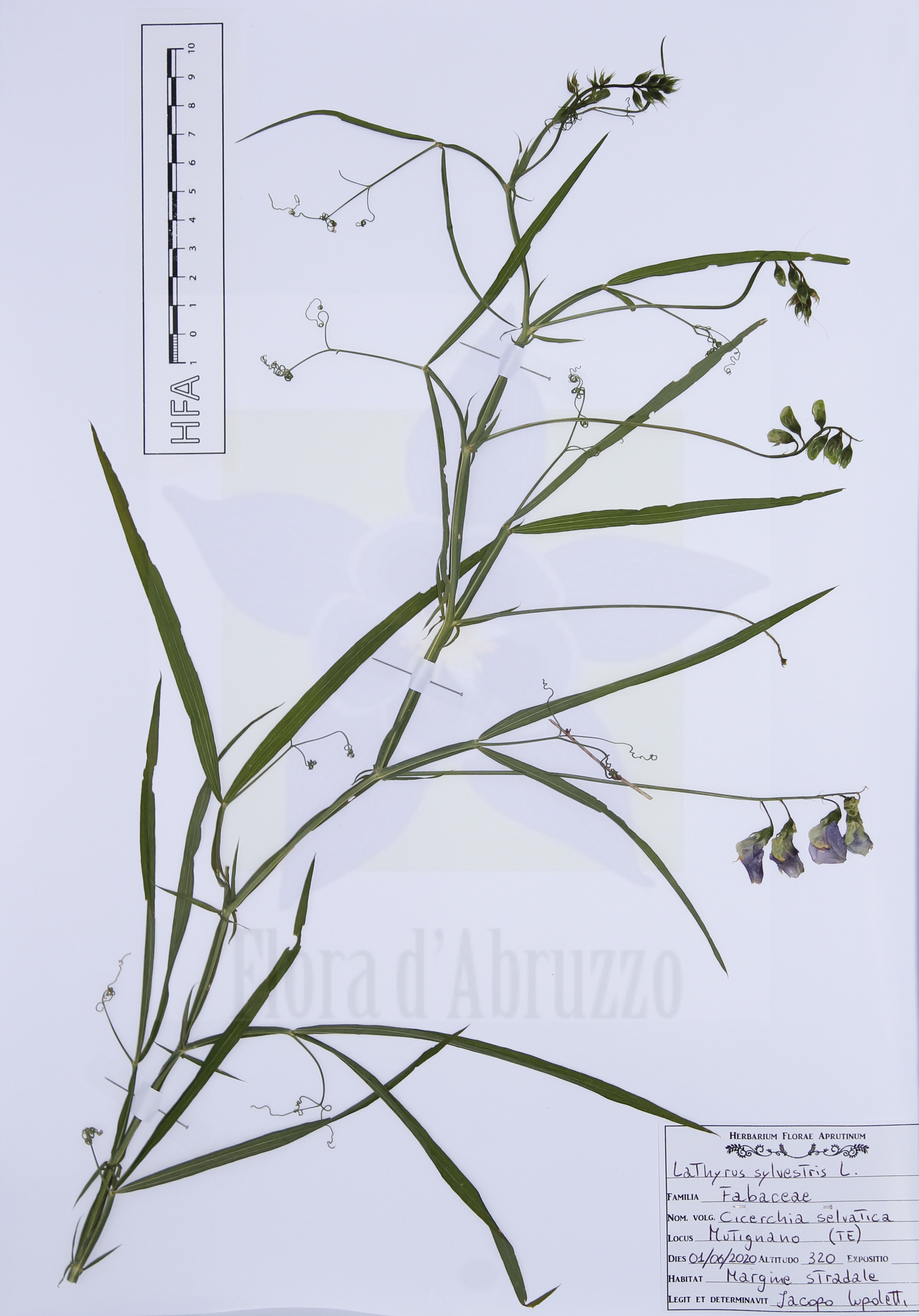 Lathyrus sylvestrisL.