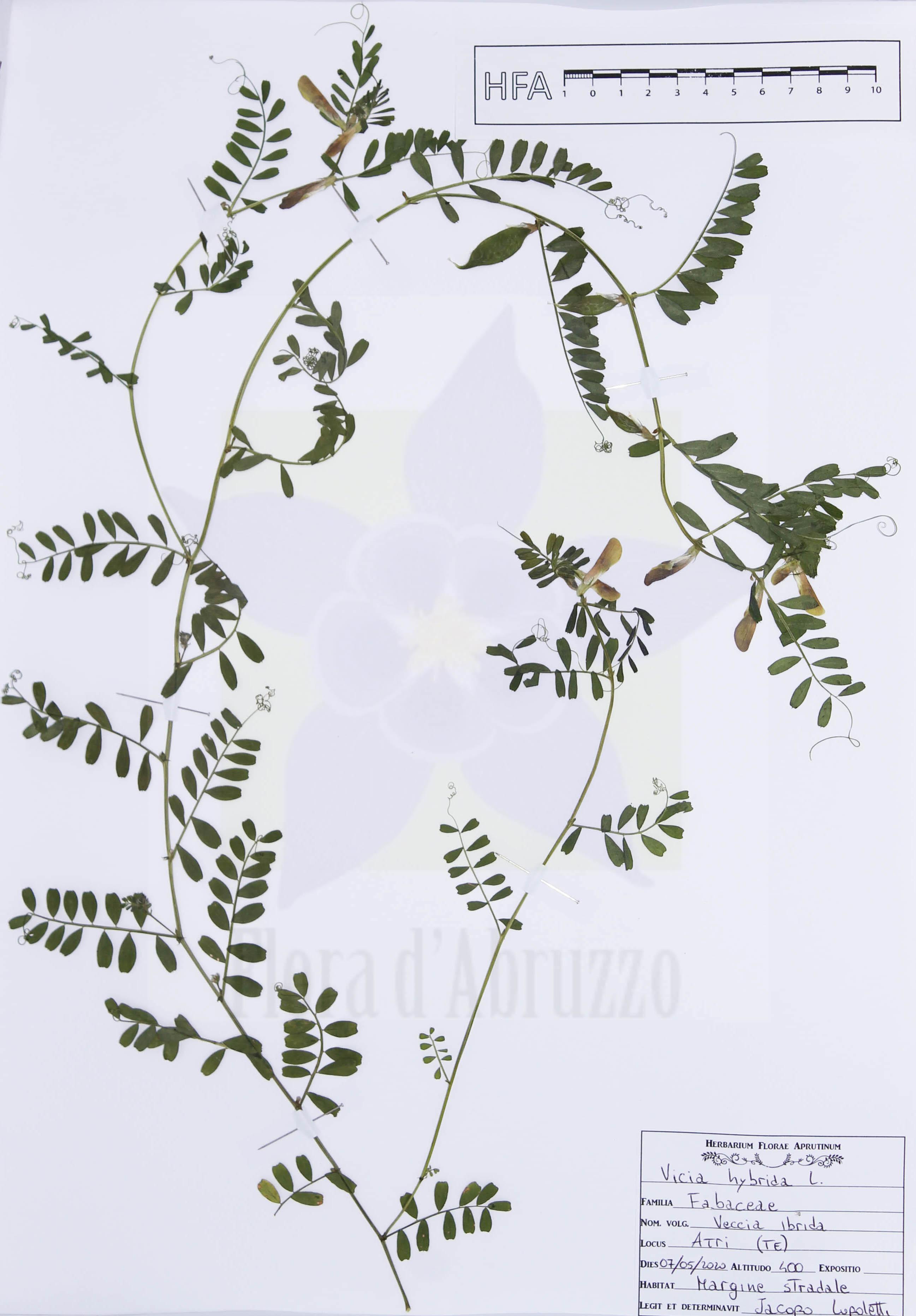 Vicia hybridaL.