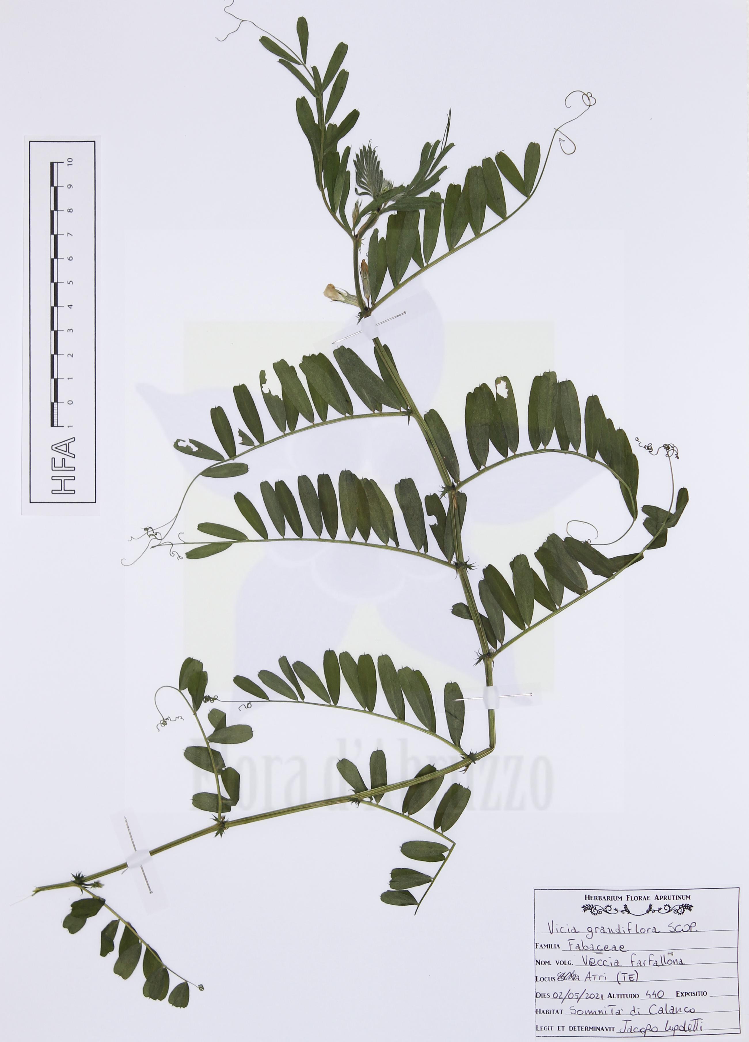 Vicia grandifloraScop.