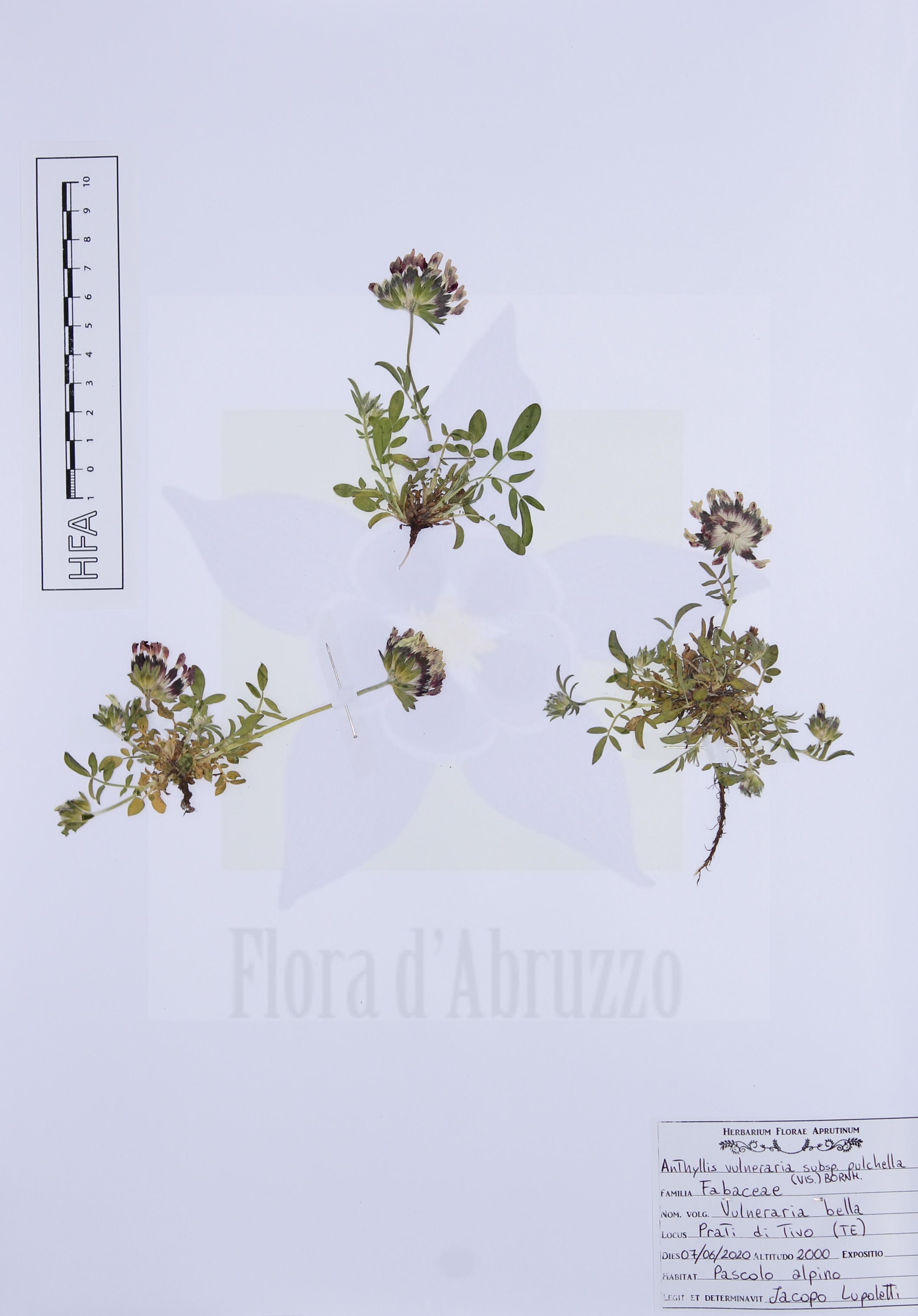 Anthyllis vulnerariasubsp.pulchella(Vis.) Bornm.