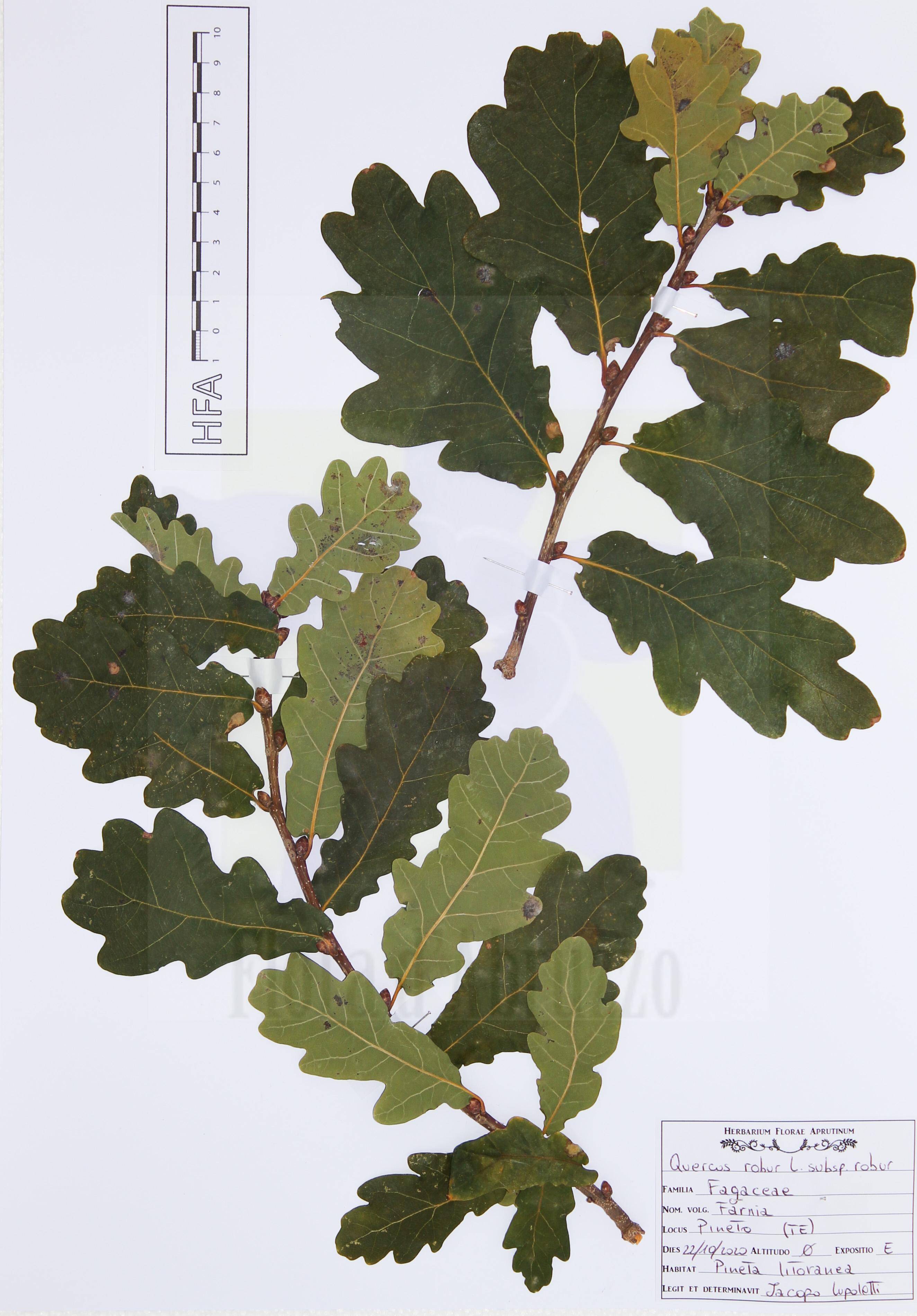 Quercus roburL. subsp.robur