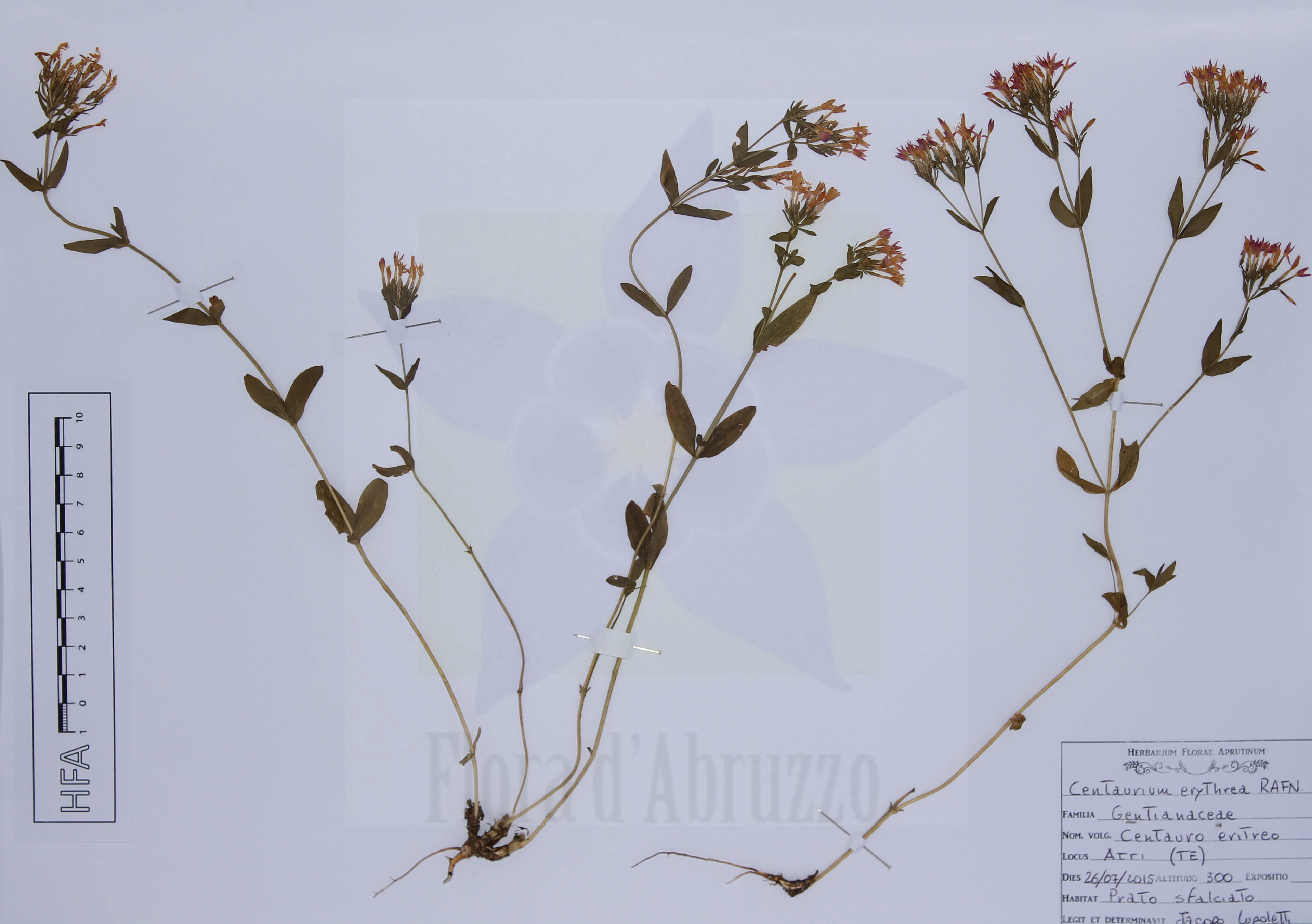 Centaurium erythraeaRafn
