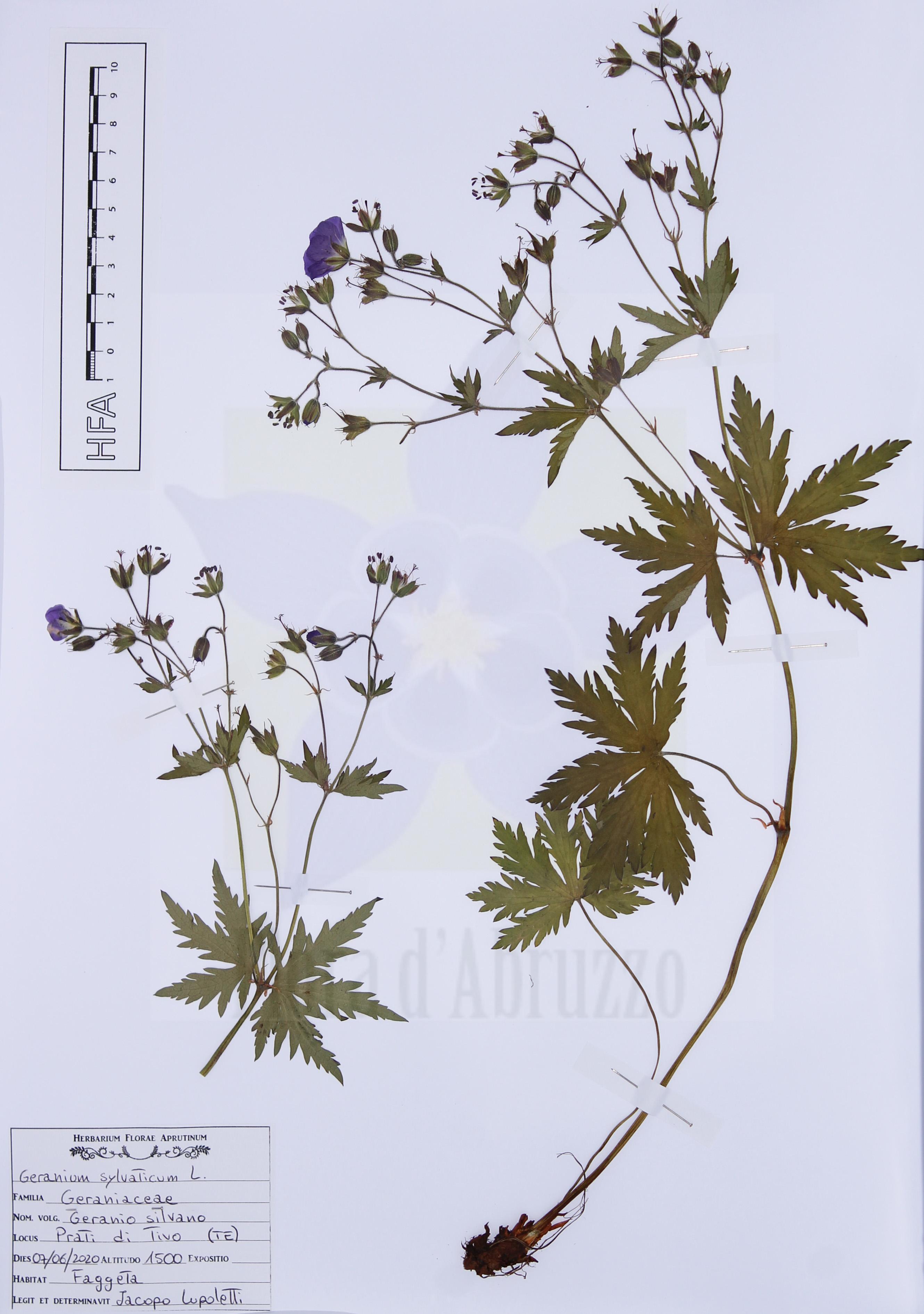Geranium sylvaticumL.