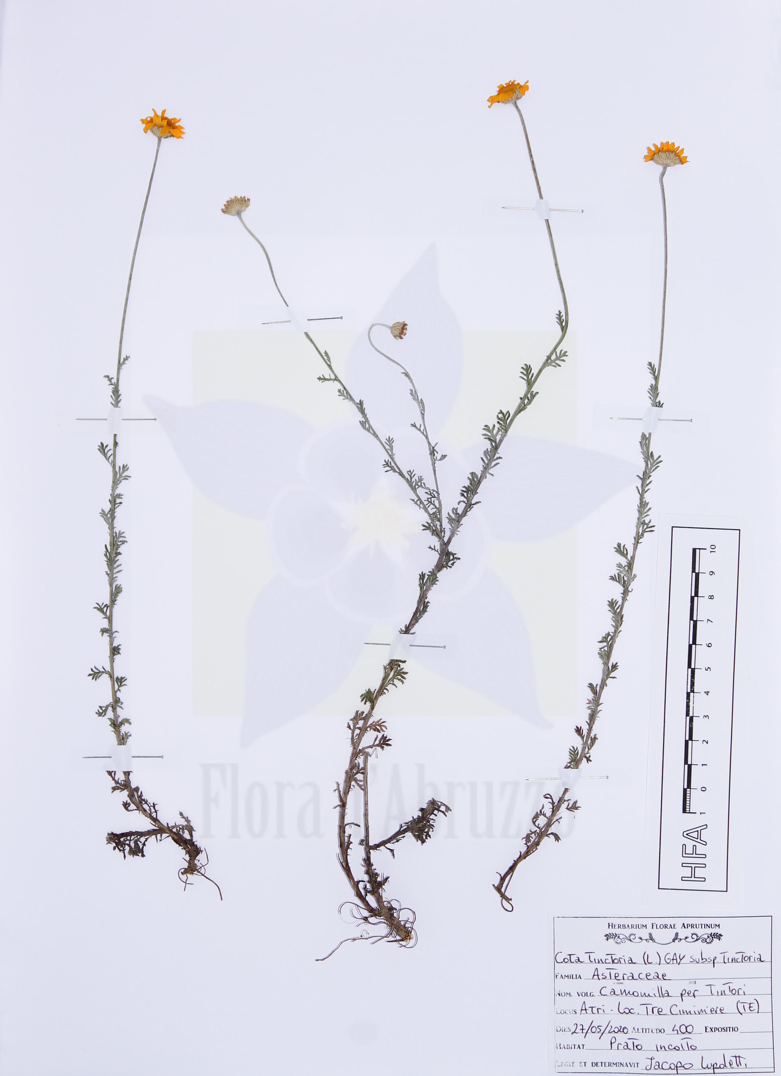 Cota tinctoria(L.) J. Gay subsp.tinctoria