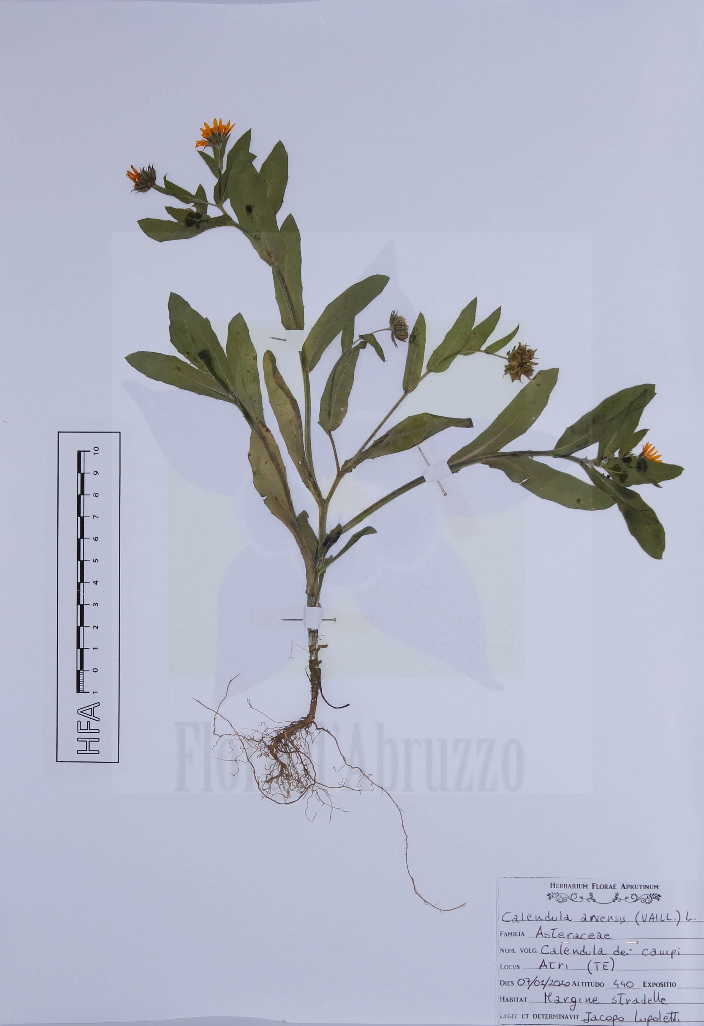 Calendula arvensis (Vaill.) L.