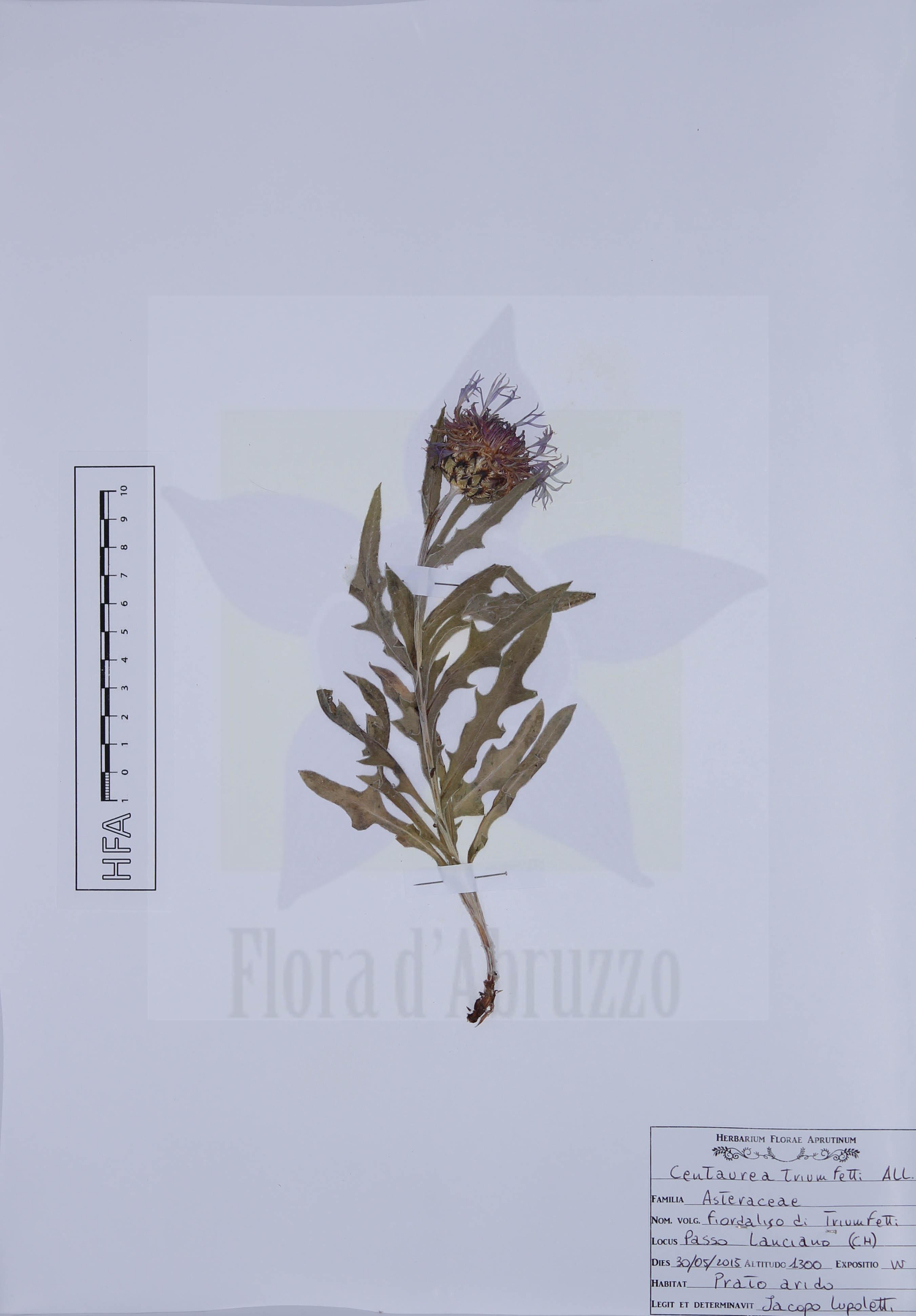 Centaurea triumfettiiAll.