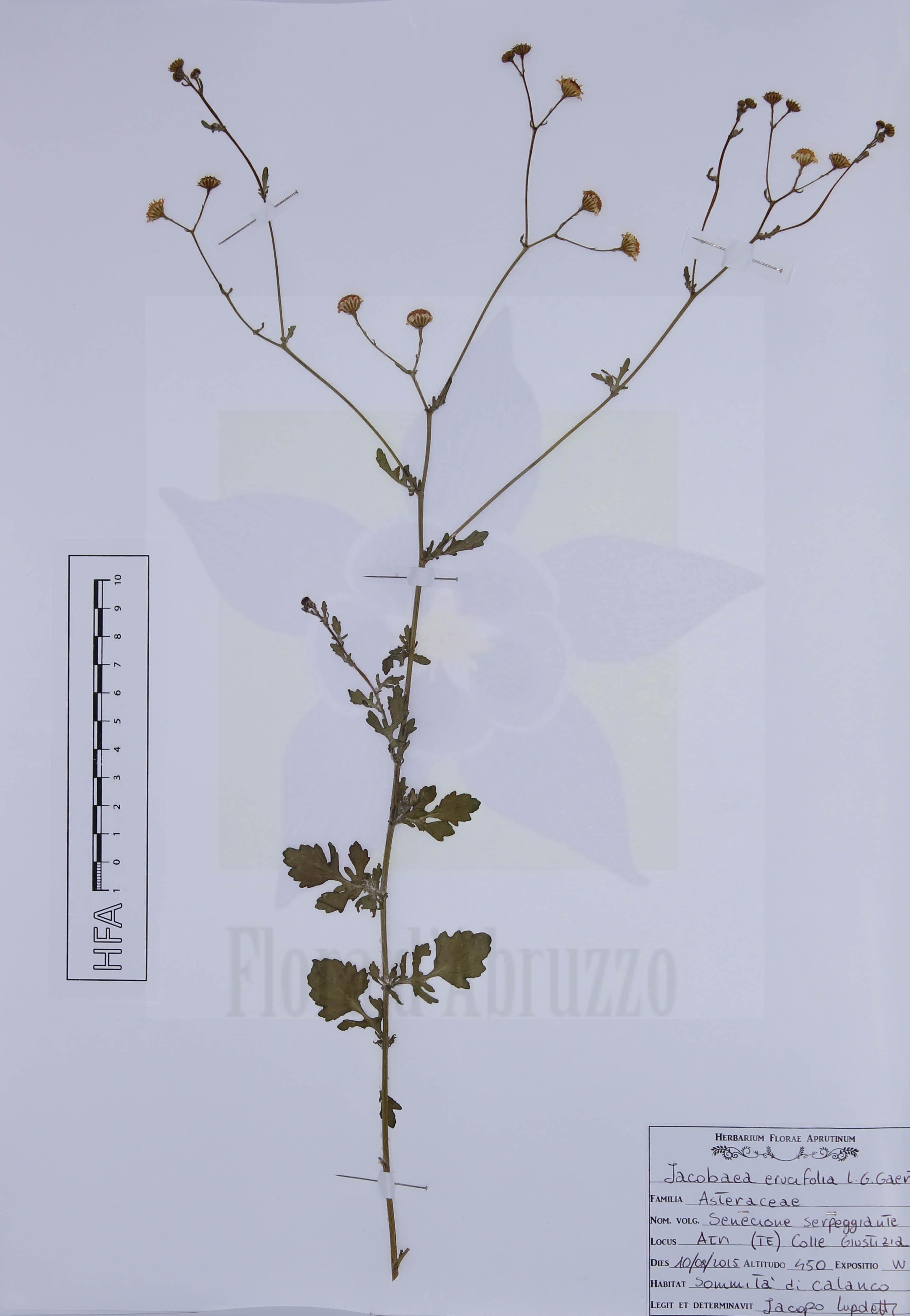 Jacobaea erucifolia (L.) G. Gaertn., B. Mey. & Scherb