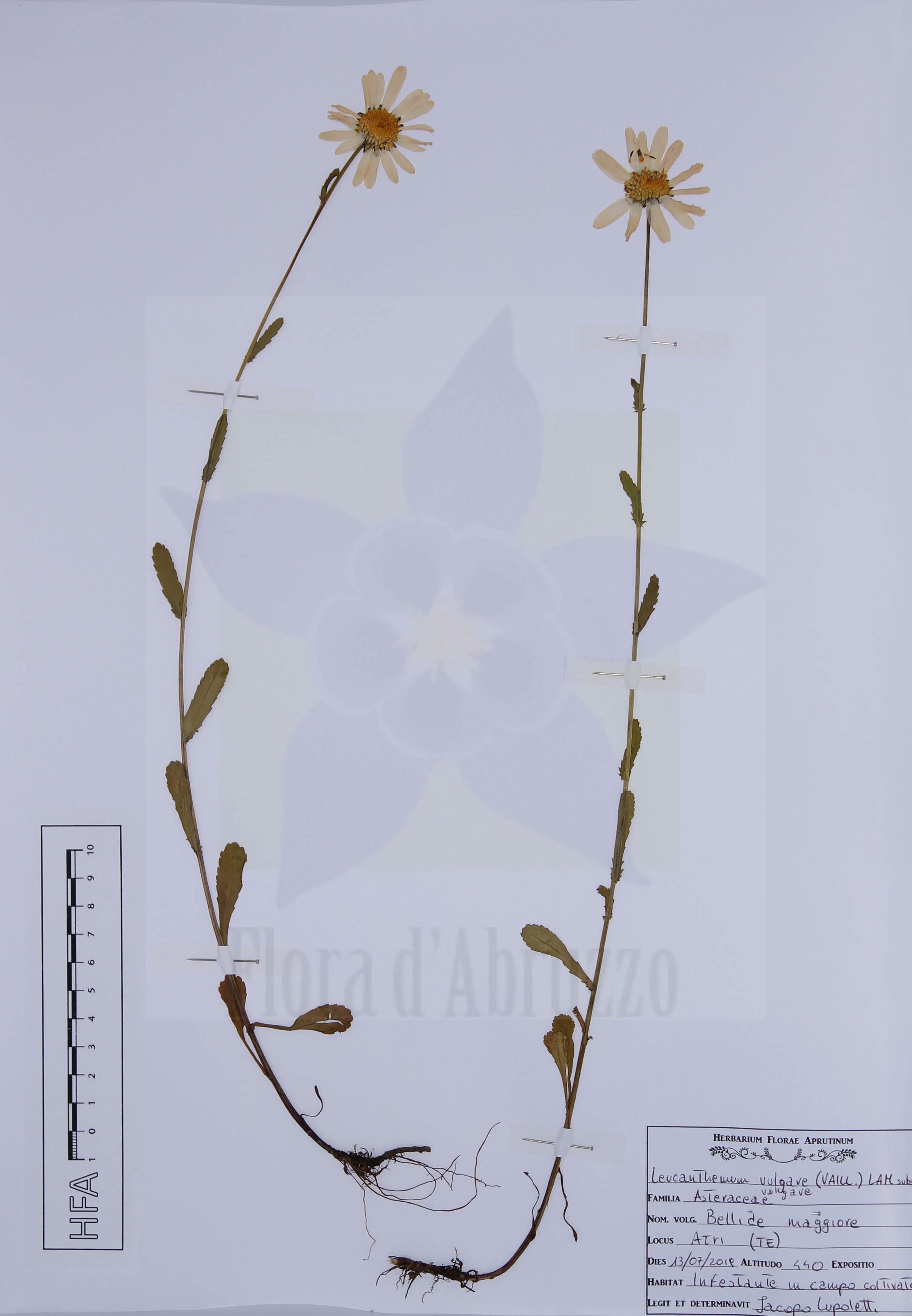 Leucanthemum vulgare(Vaill.) Lam.