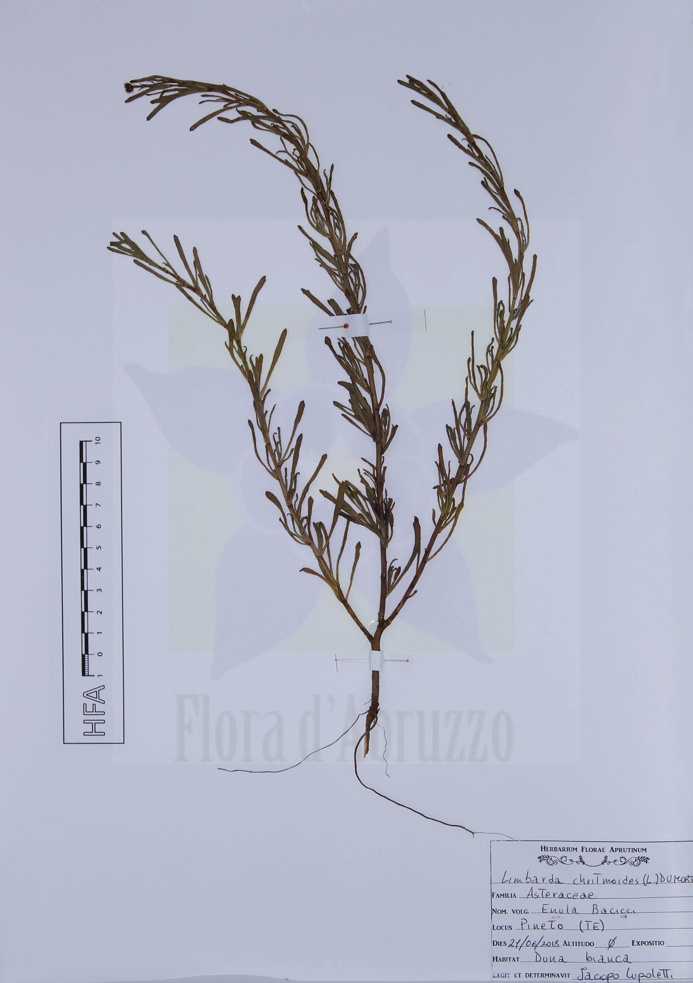 Limbarda chritmoides (L.) Dumort