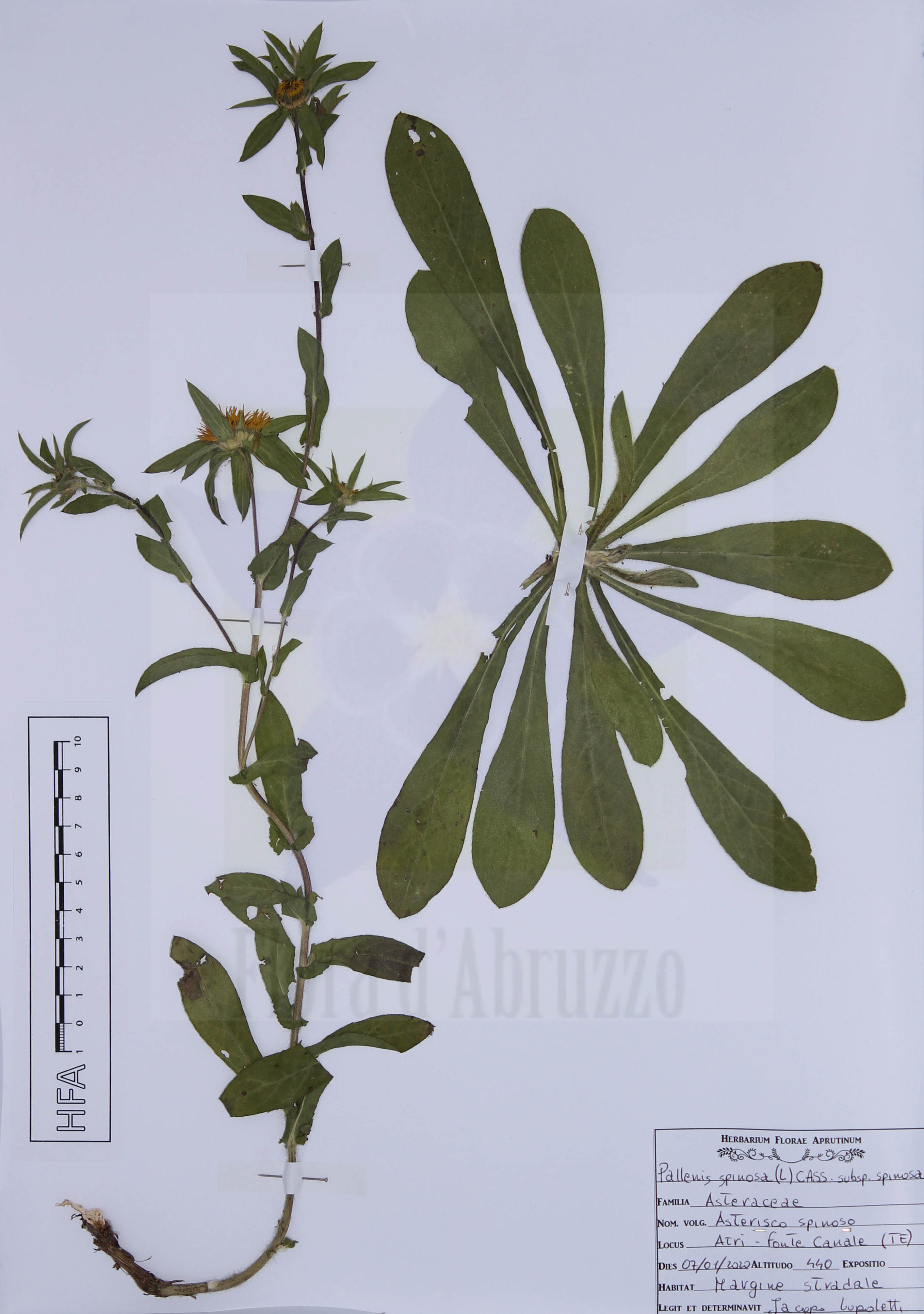 Pallenis spinosa (L.) Cass. subsp. spinosa