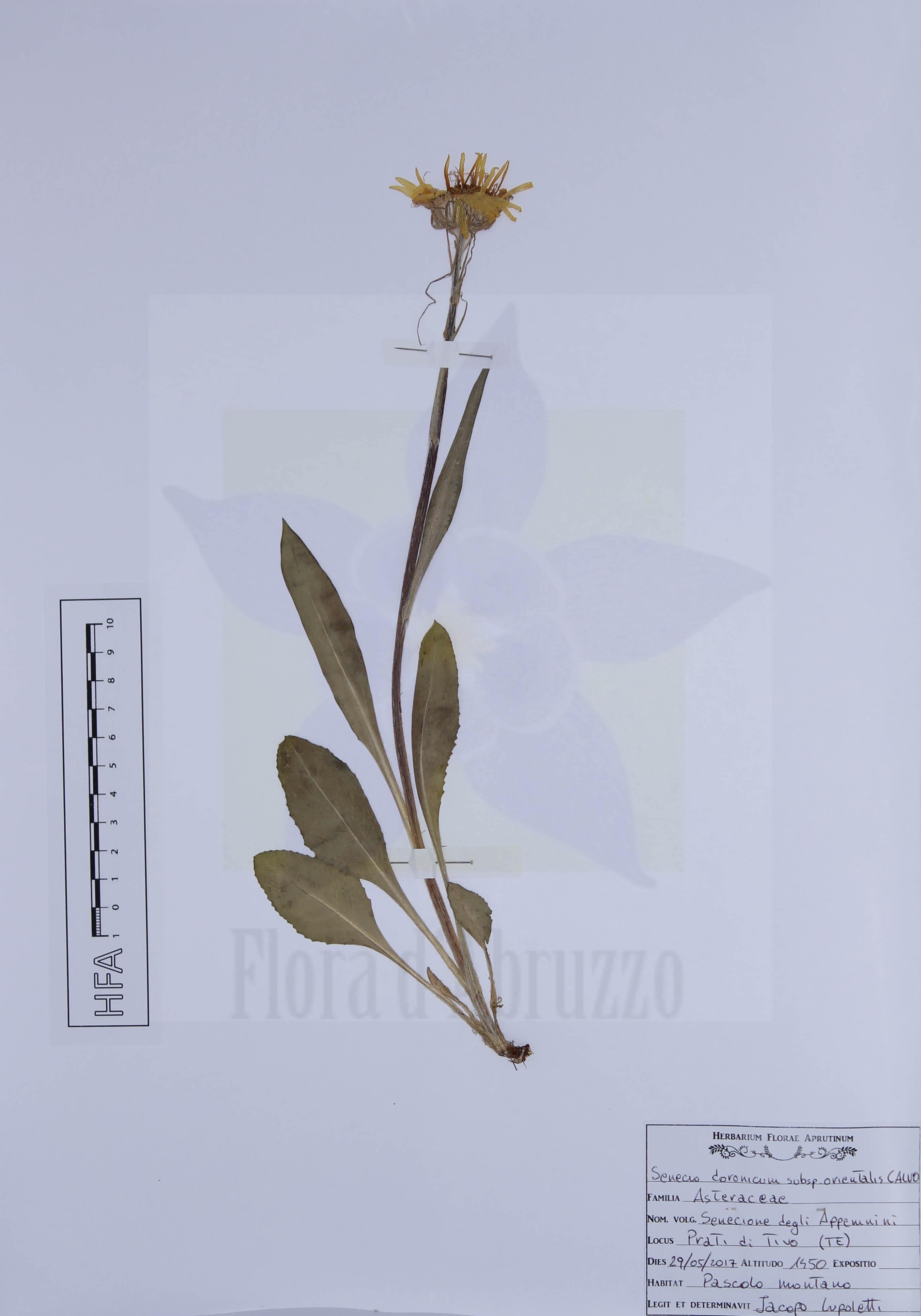 Senecio doronicum subsp. orientalis J. Calvo