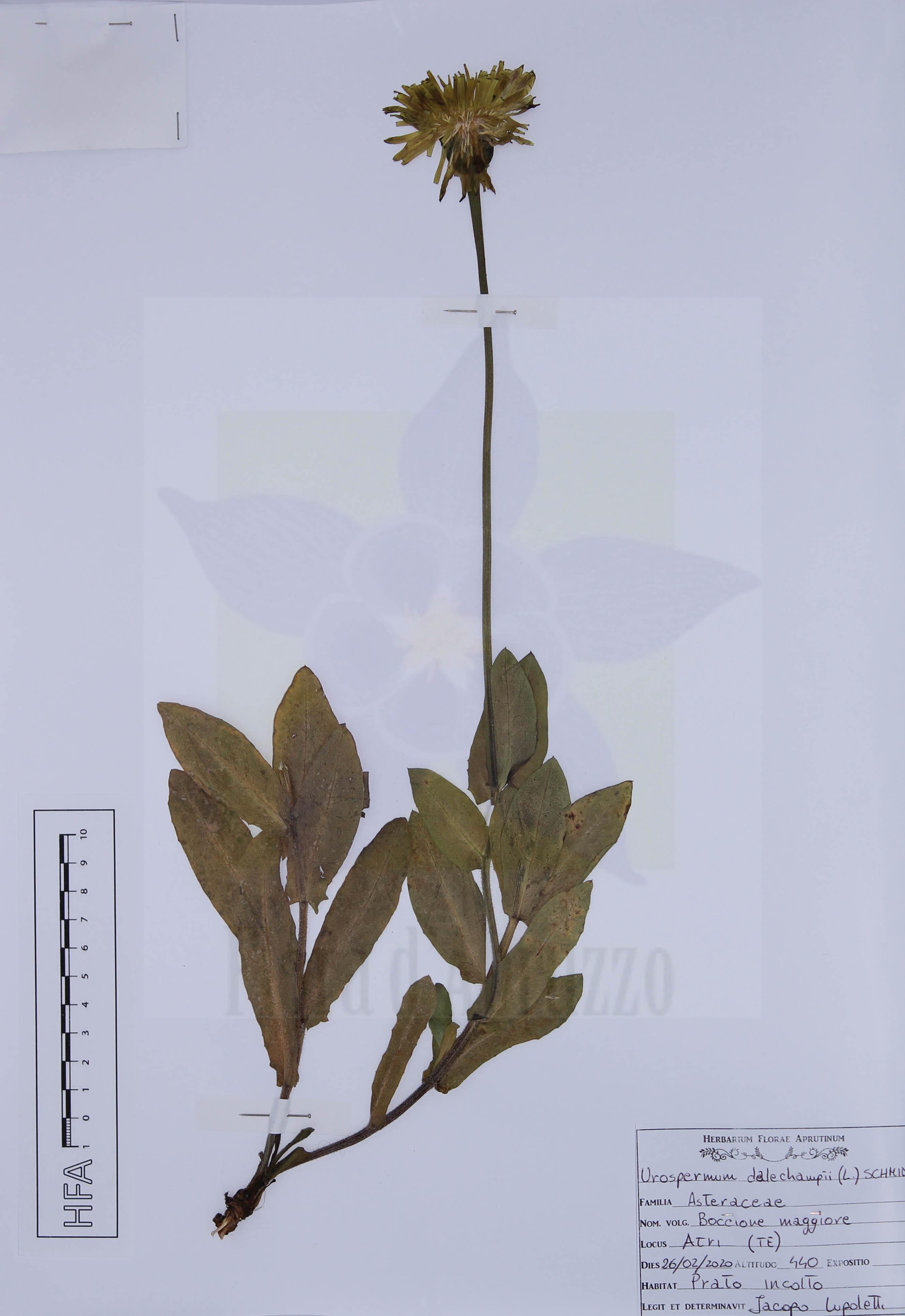 Urospermum dalechampii (L.) F.W. Schmidt