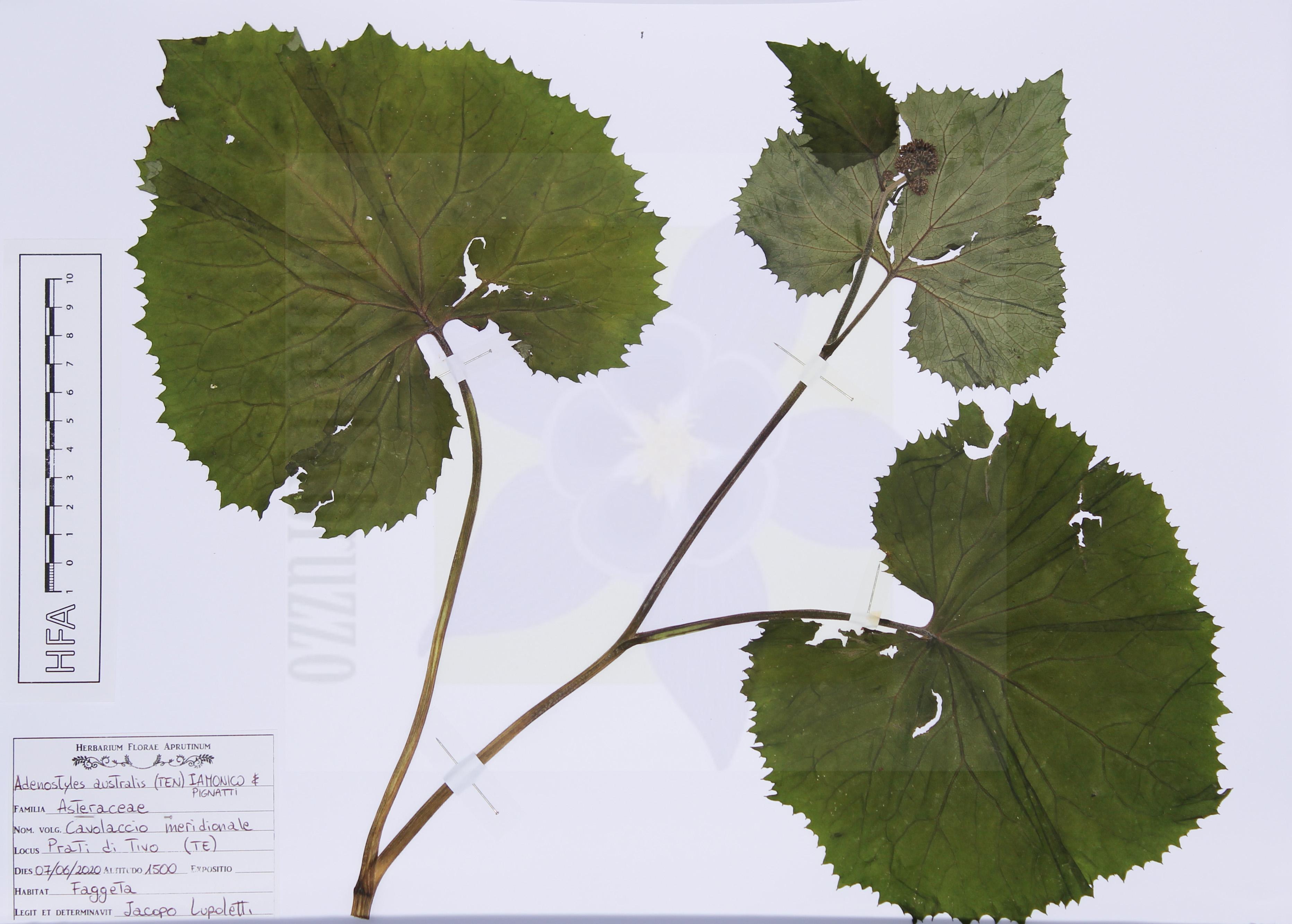 Adenostyles australis(Ten.) Iamonico & Pignatti