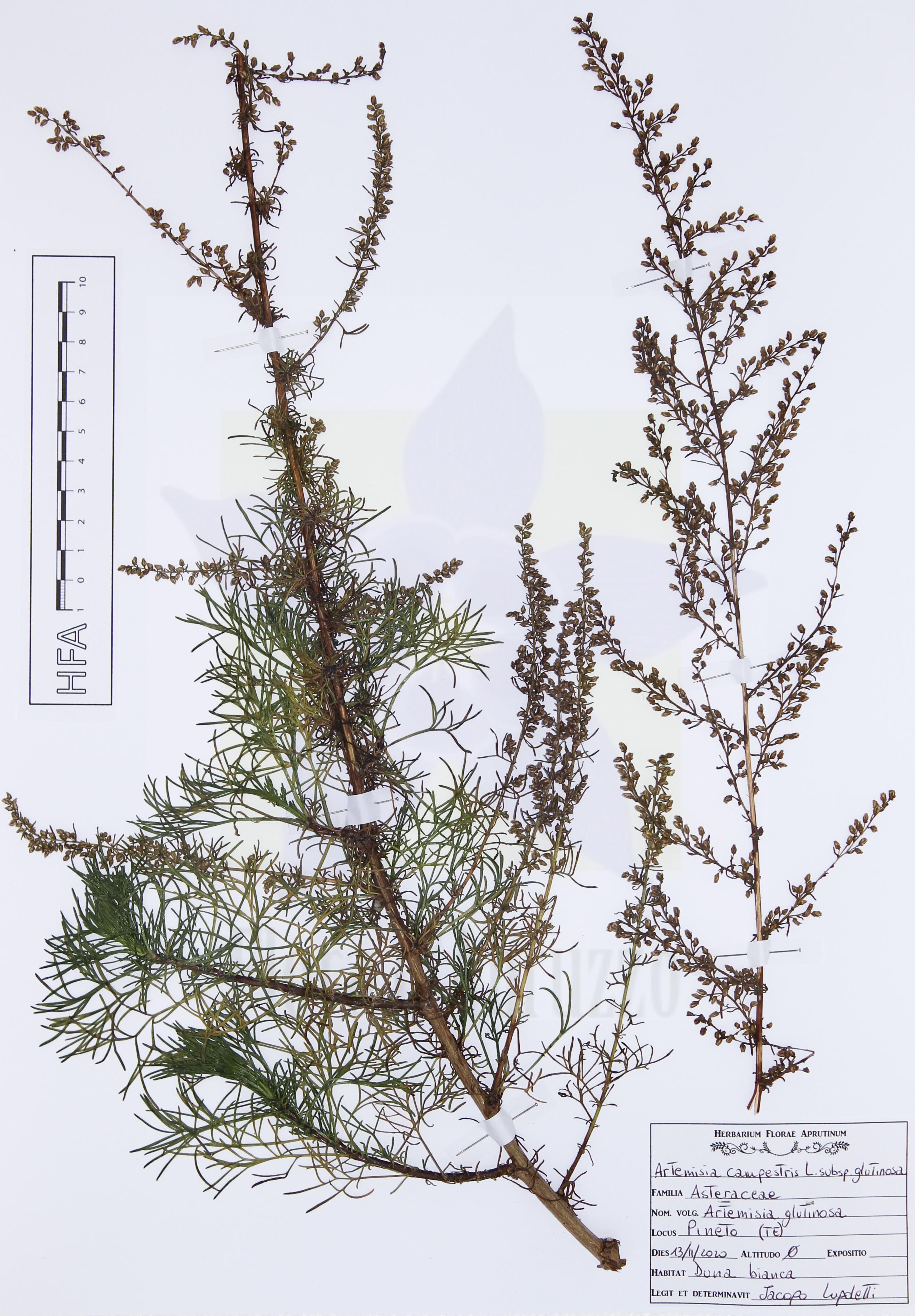 Artemisia campestris L. subsp. glutinosa (J.Gay ex Besser) Batt.