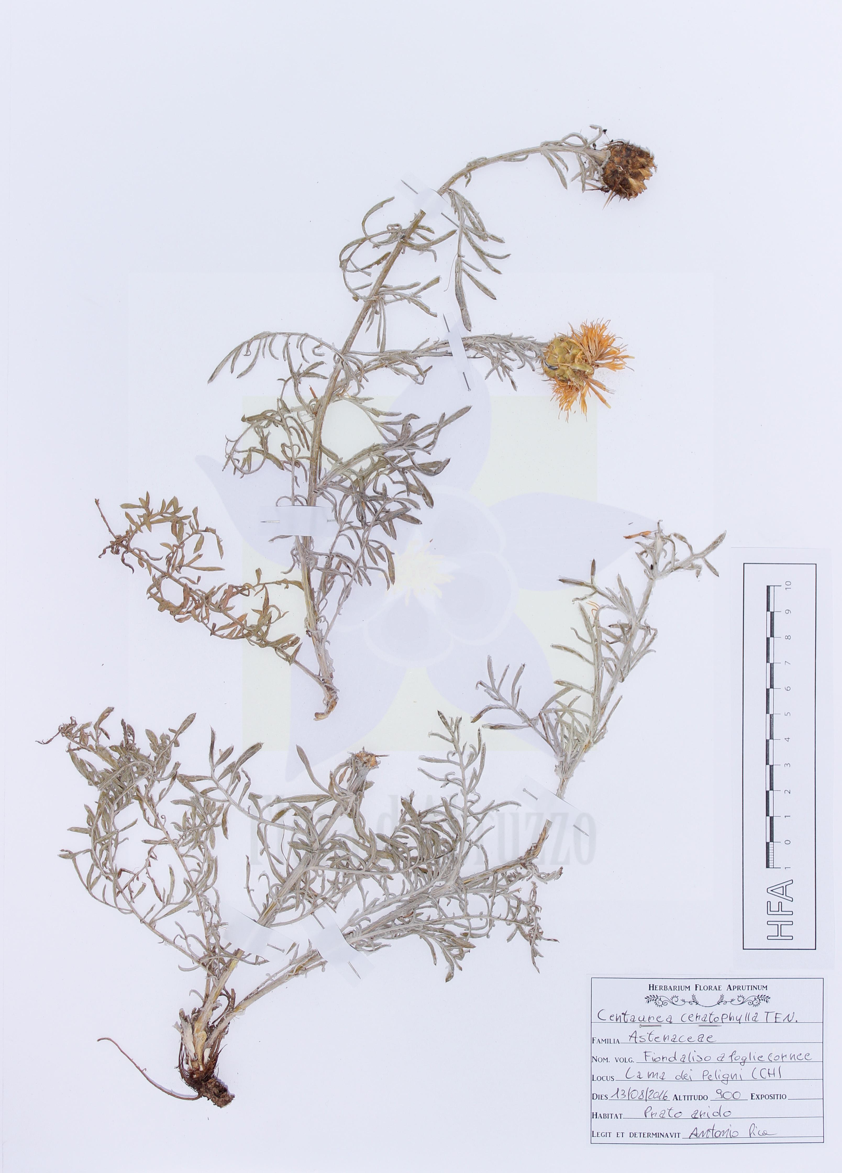 Centaurea ceratophyllaTen.