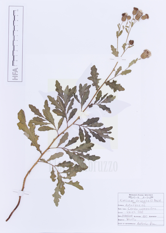 Cirsium arvense(L.) Scop.