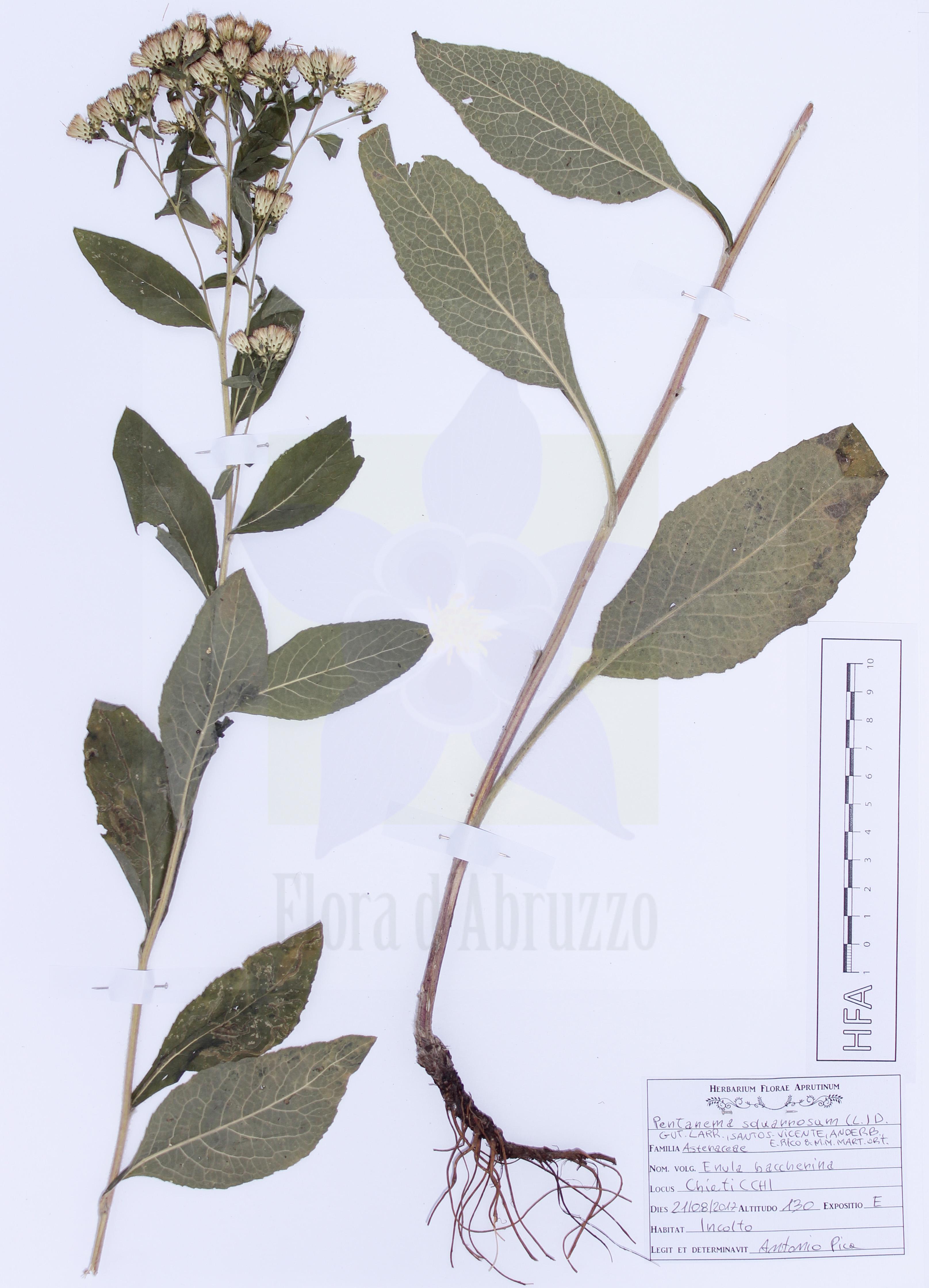 Pentanema squarrosum(L.) D. Gut.Larr., Santos-Vicente, Anderb., E.Rico & M.M. Mart.Ort.