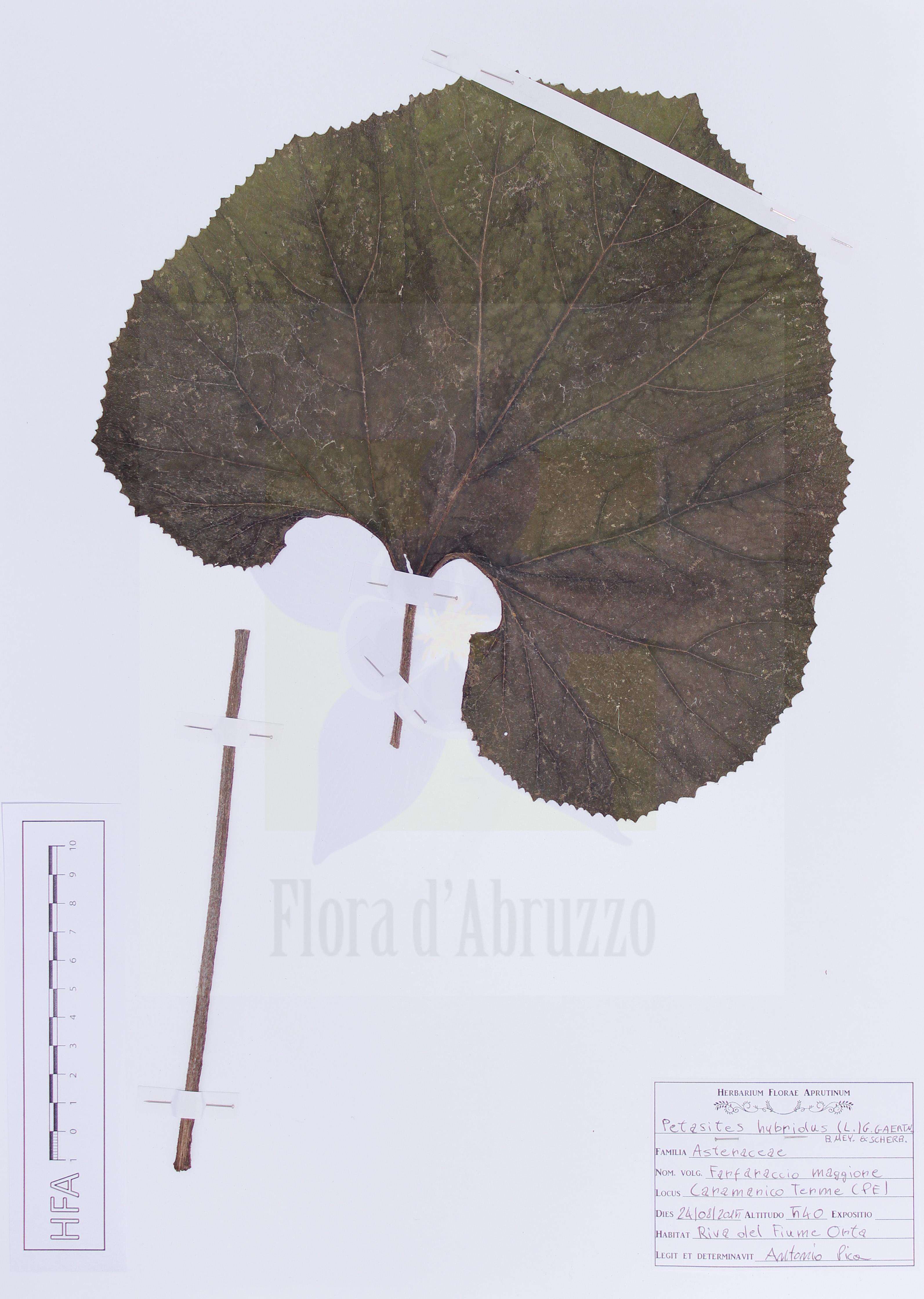 Petasites hybridus(L.) G. Gaertn., B. Mey. & Scherb.