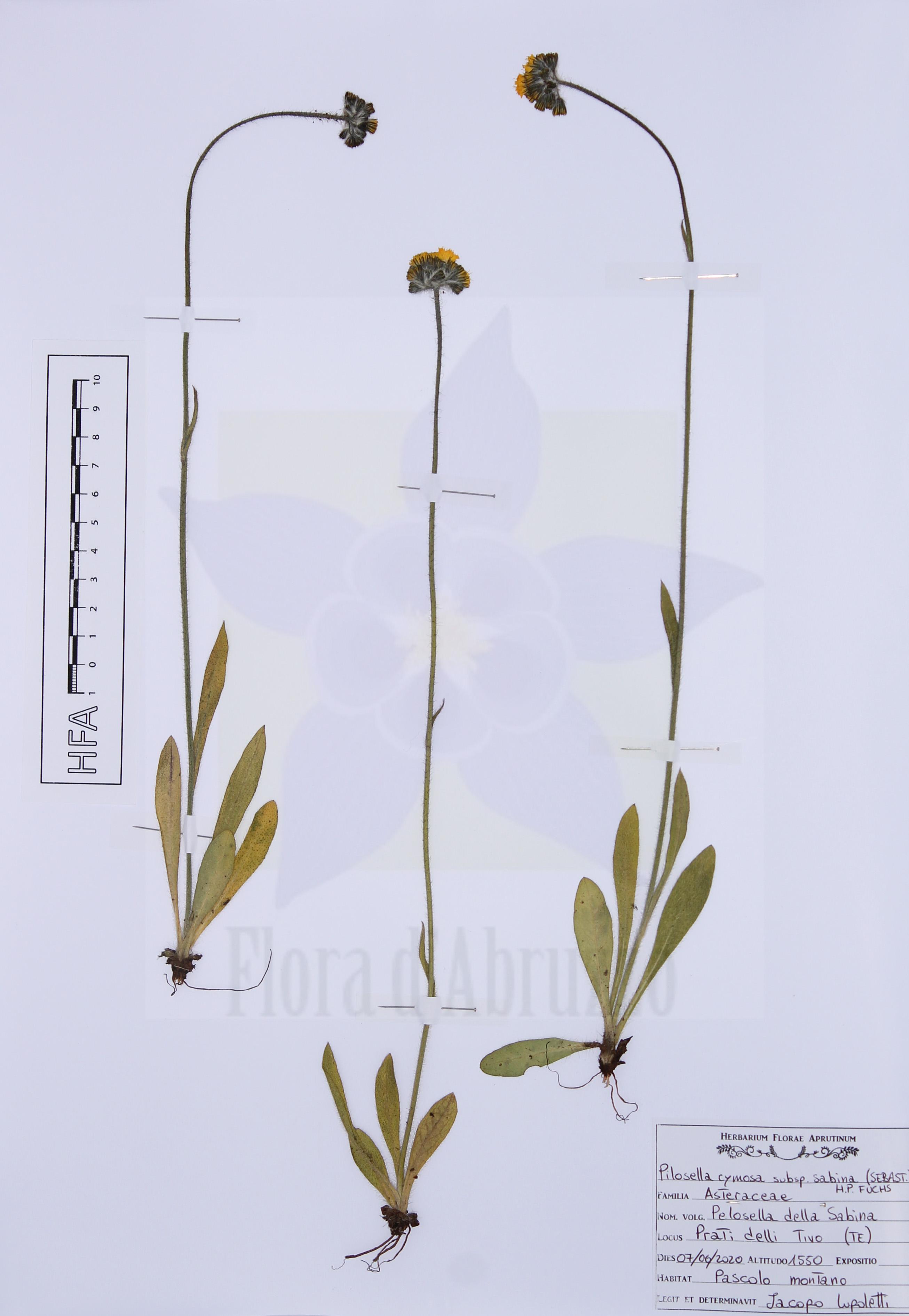 Pilosella cymosasubsp.sabina(Sebast.) H.P. Fuchs