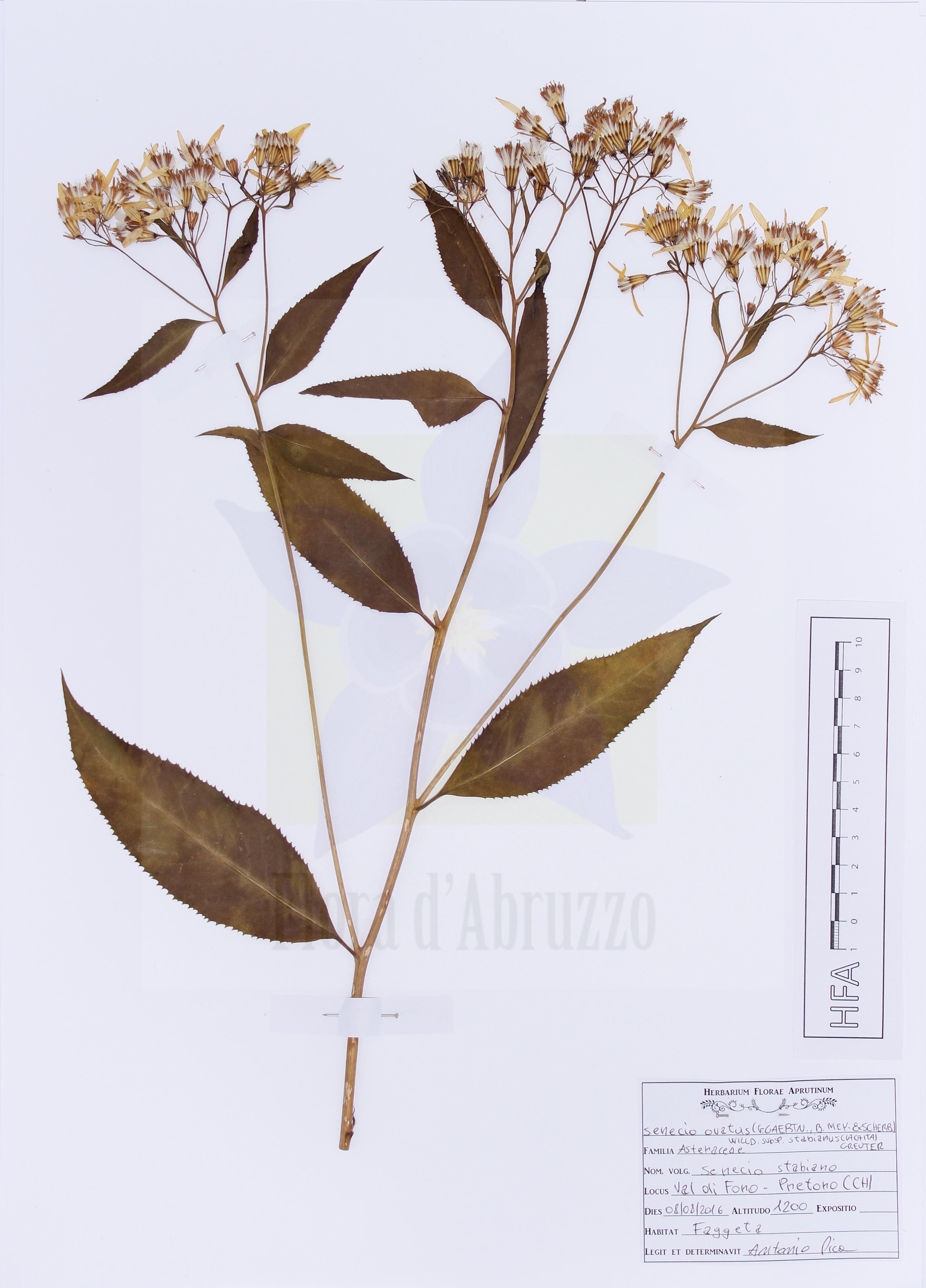 Senecio ovatus (G.Gaertn., B.Mey. & Scherb.) Willd. subsp. stabianus (Lacaita) Greuter