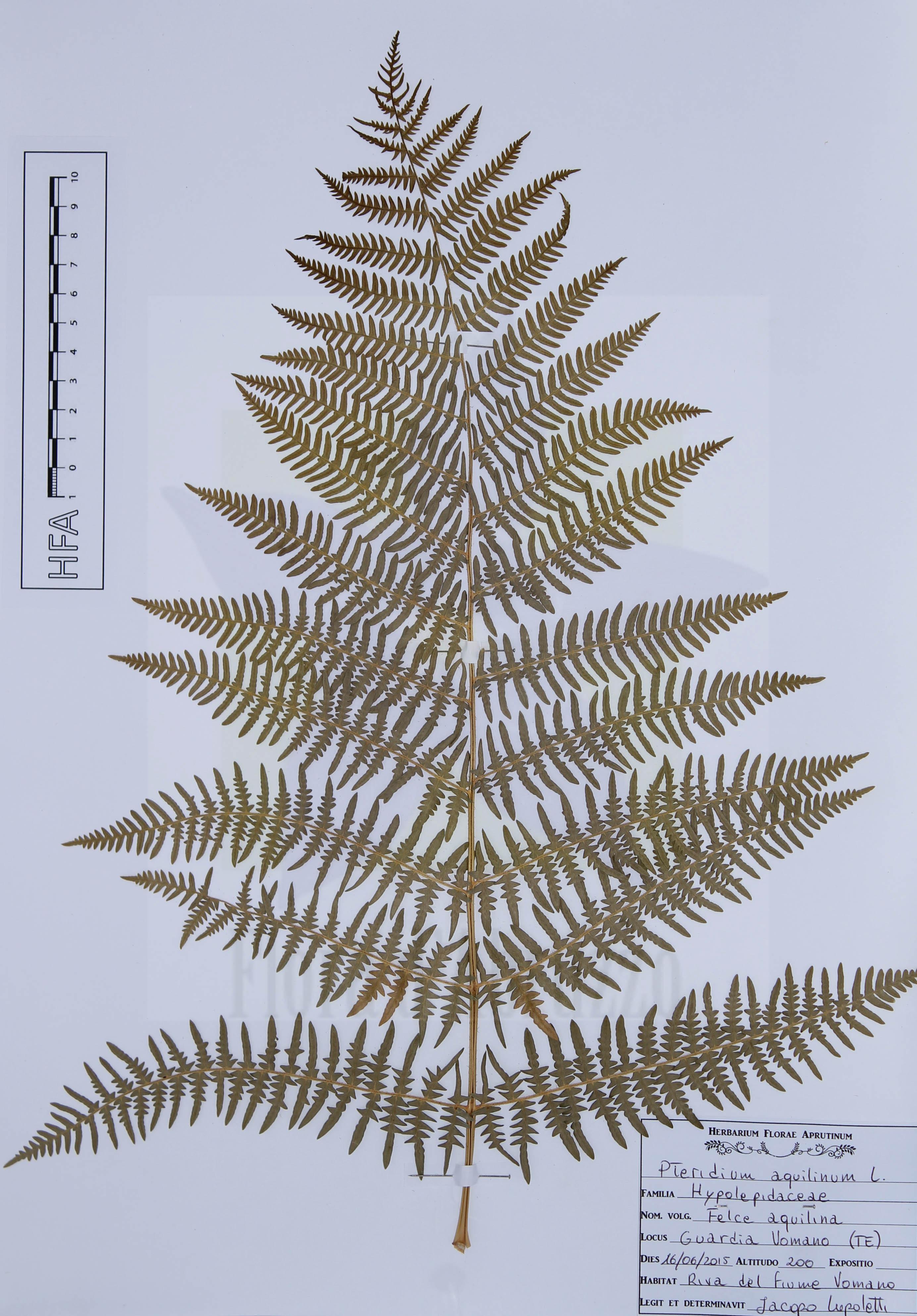 Pteridium aquilinum L.