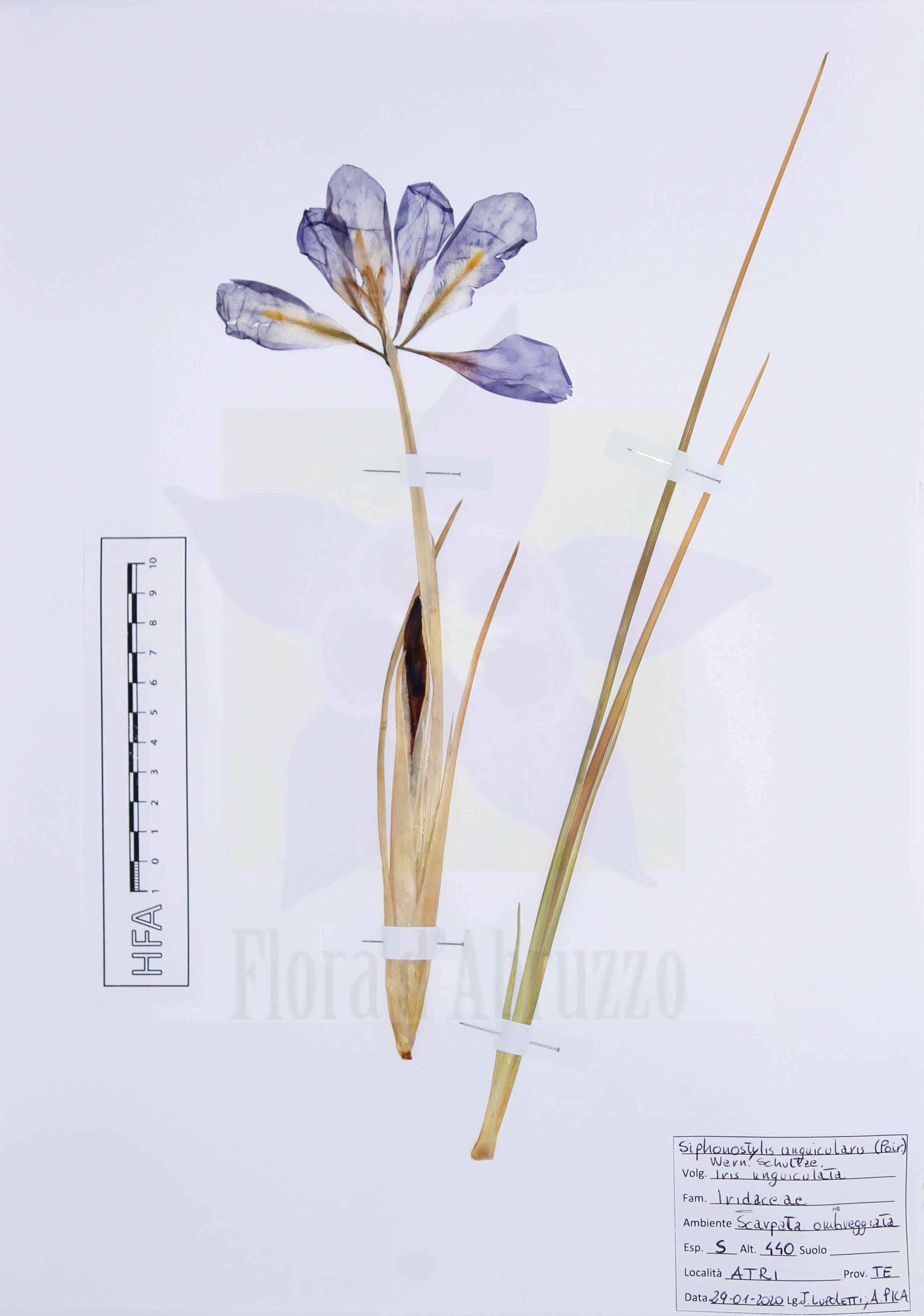 Siphonostylis unguicularis (Poir.) Wern.Schulze