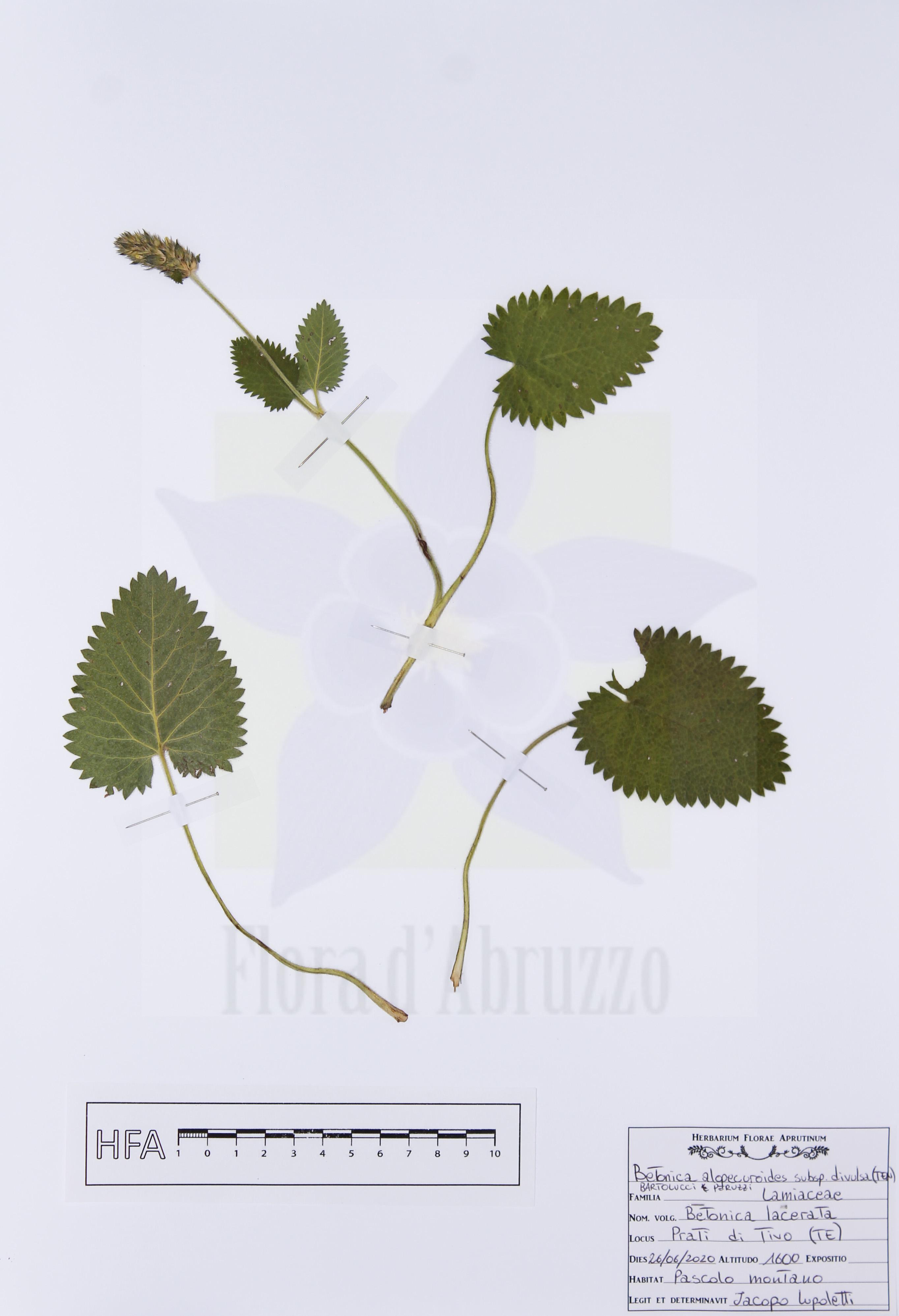 Betonica alopecurossubsp.divulsa(Ten.) Bartolucci & Peruzzi