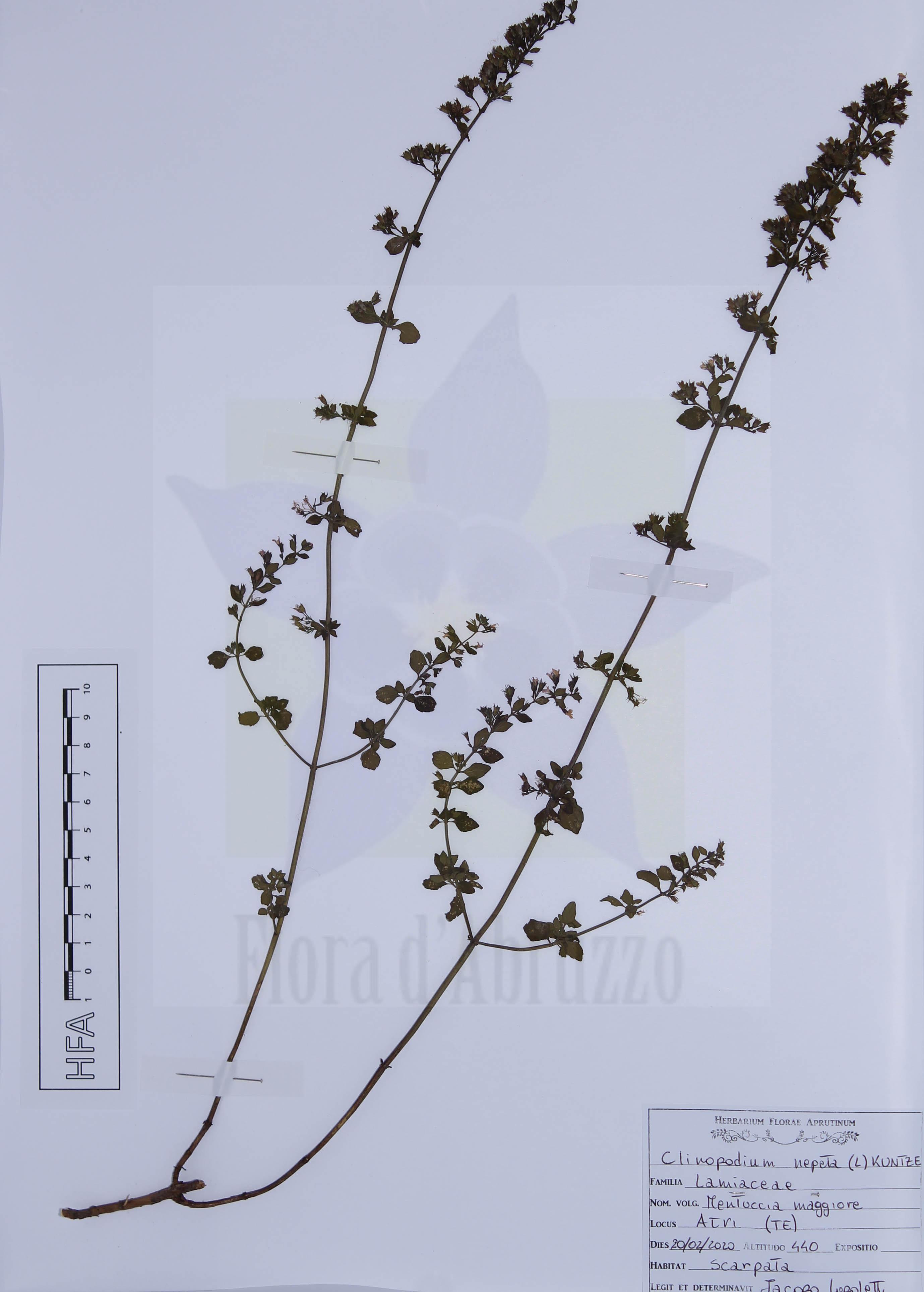 Clinopodium nepeta(L.) Kuntze