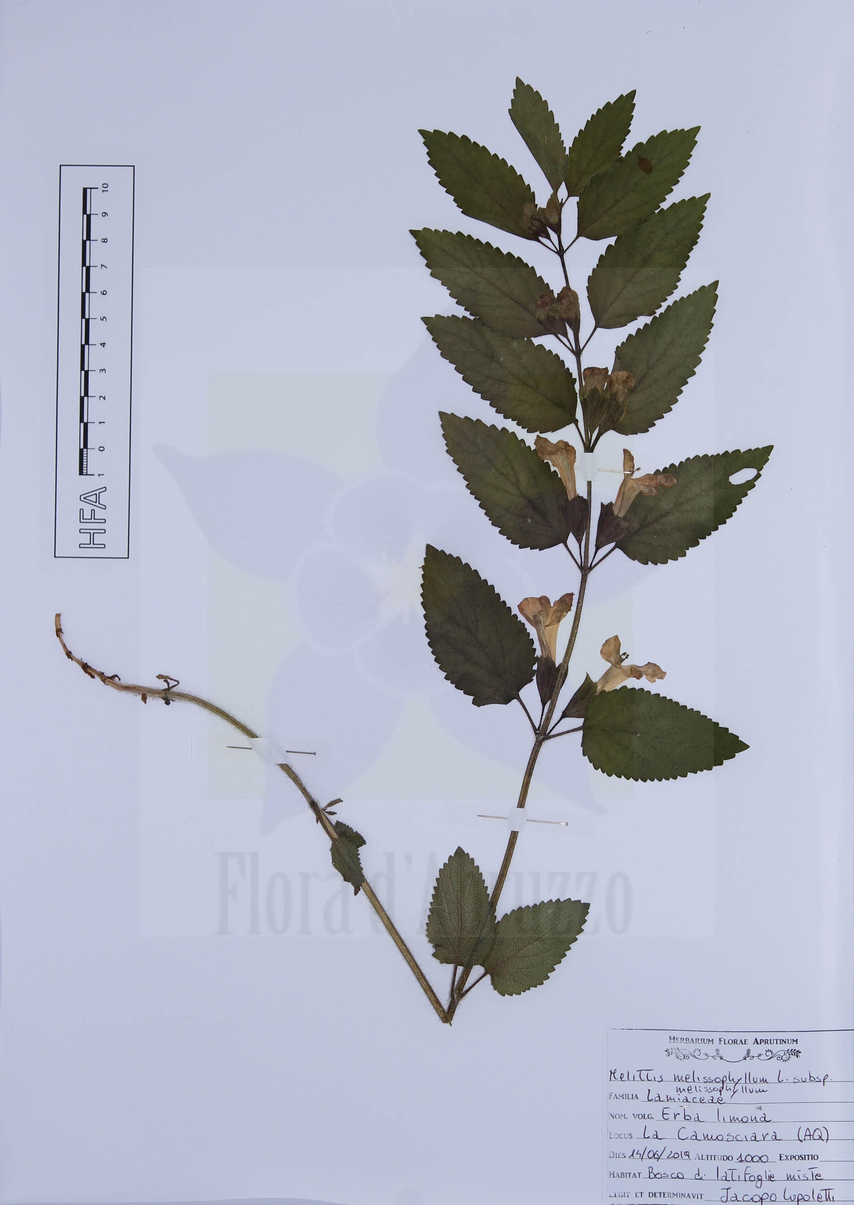 Melittis melissophyllum L. subsp. melissophyllum
