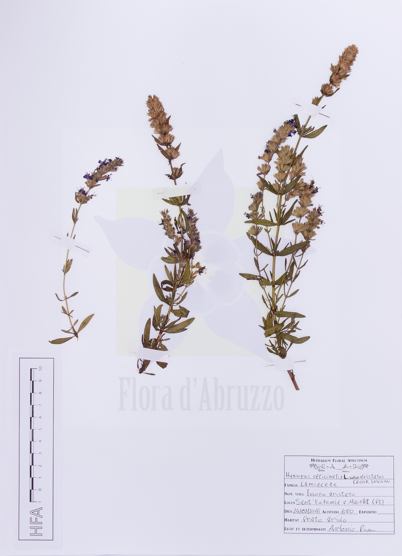 Hyssopus officinalis L. subsp. aristatus (Godr.) Nyman