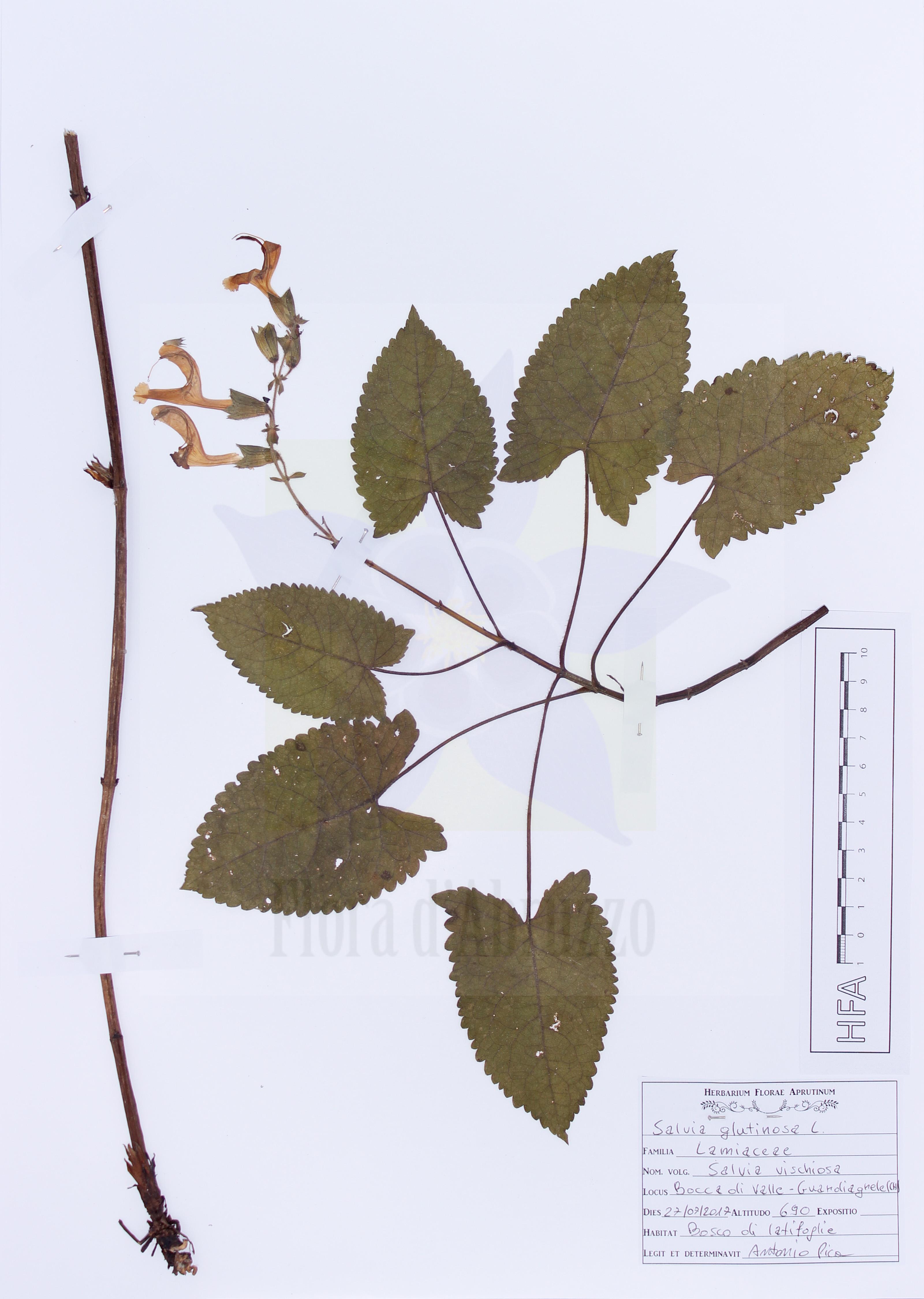 Salvia glutinosa L.