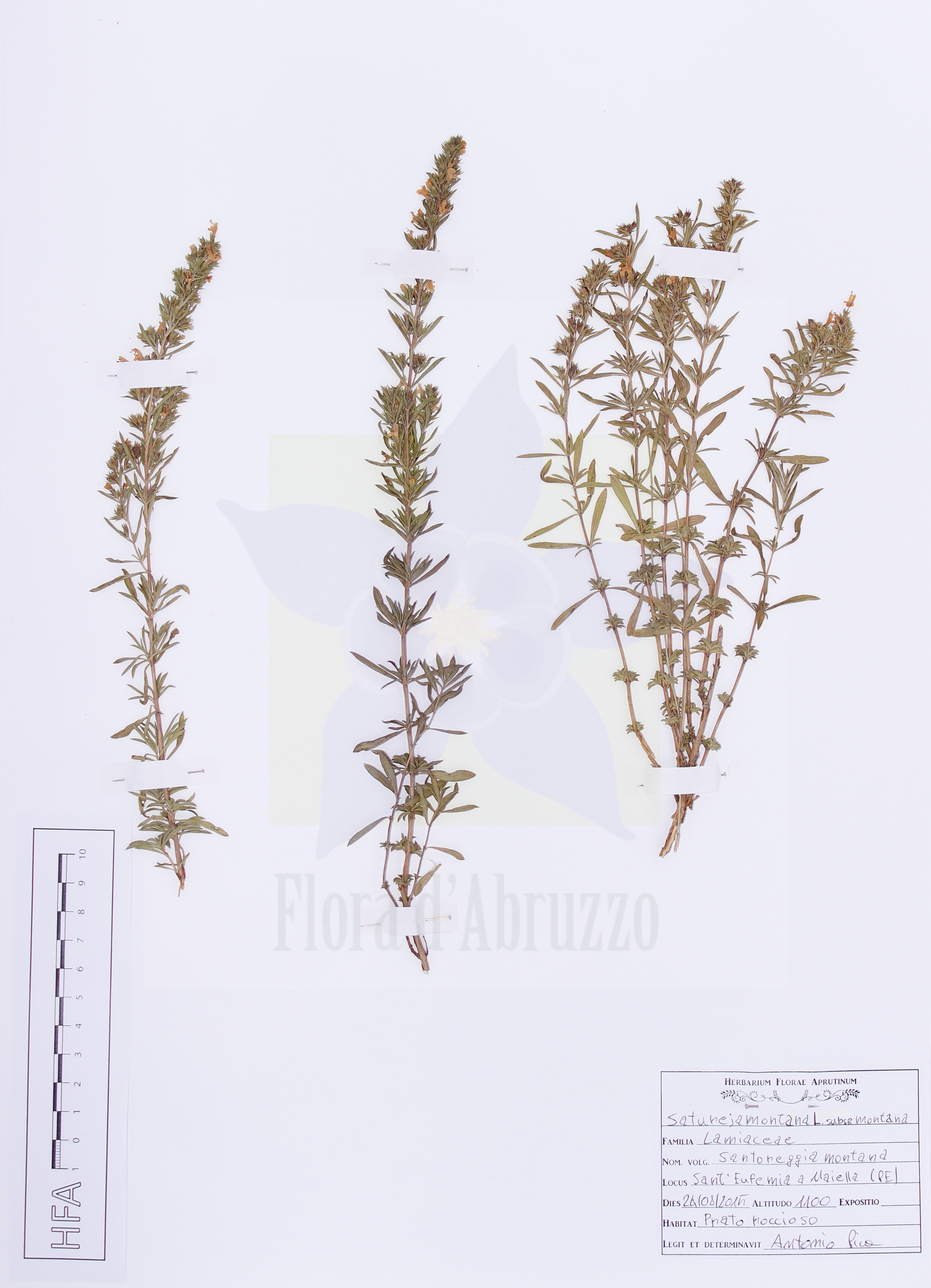 Satureja montana L. subsp. montana