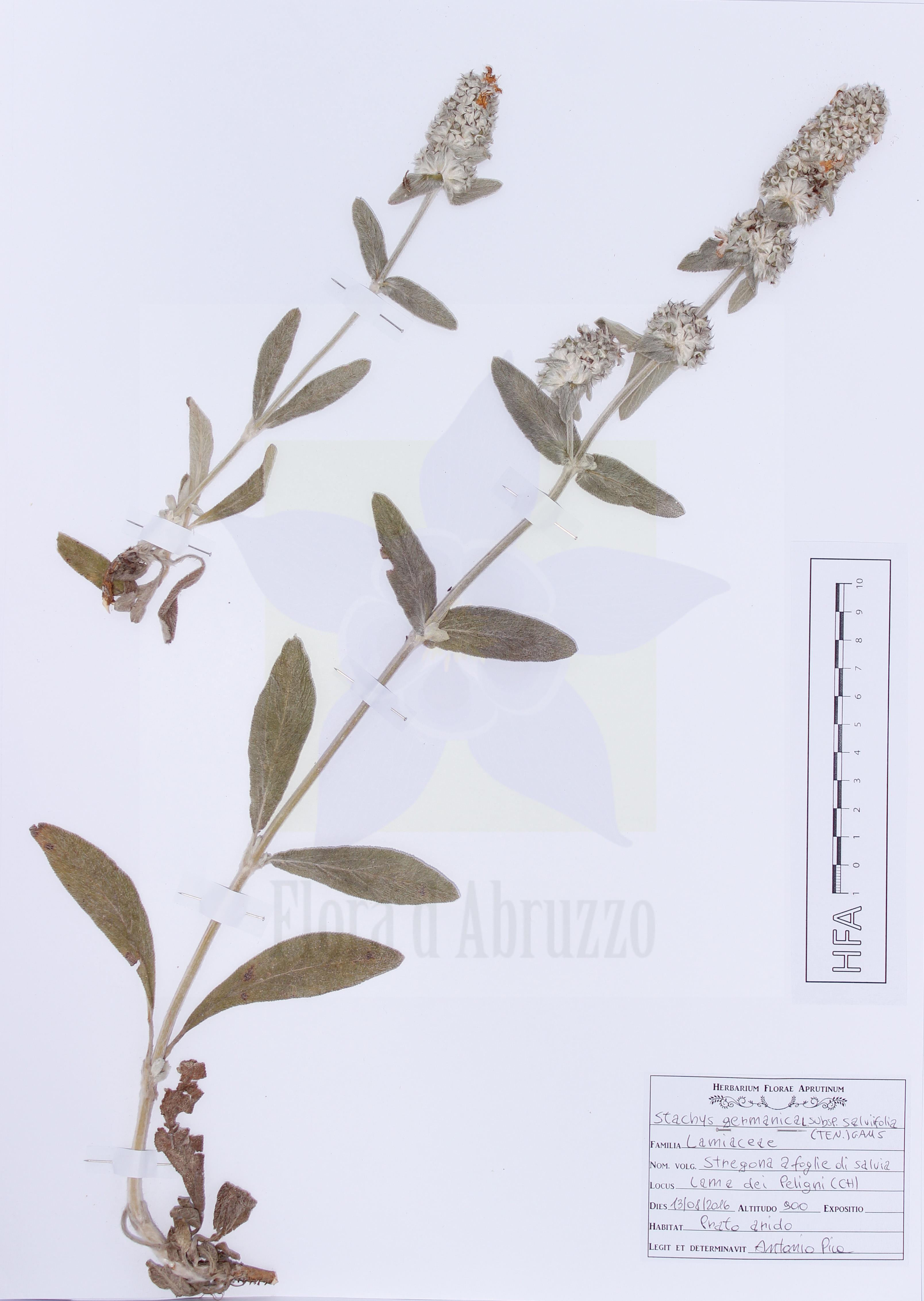 Stachys germanica L. subsp. salviifolia (Ten.) Gams