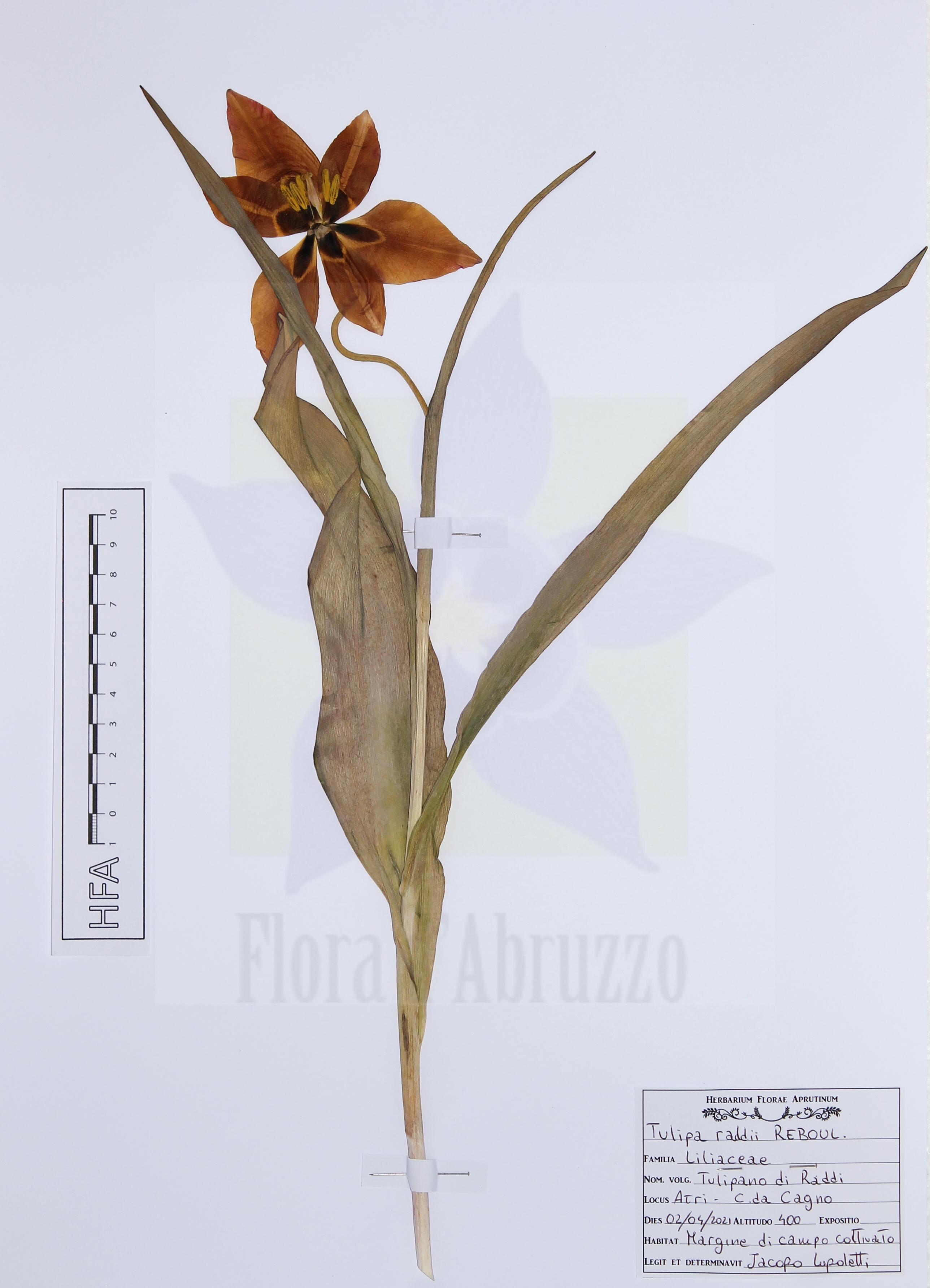 Tulipa raddiiReboul