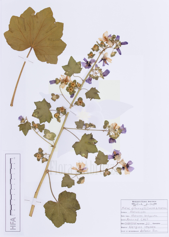 Malva arborea(L.) Webb & Berthel.