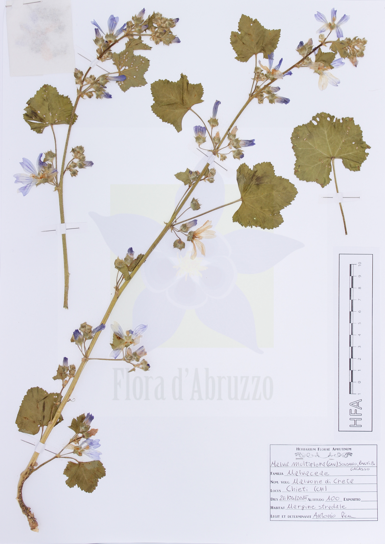 Malva multiflora(Cav.) Soldano, Banfi & Galasso