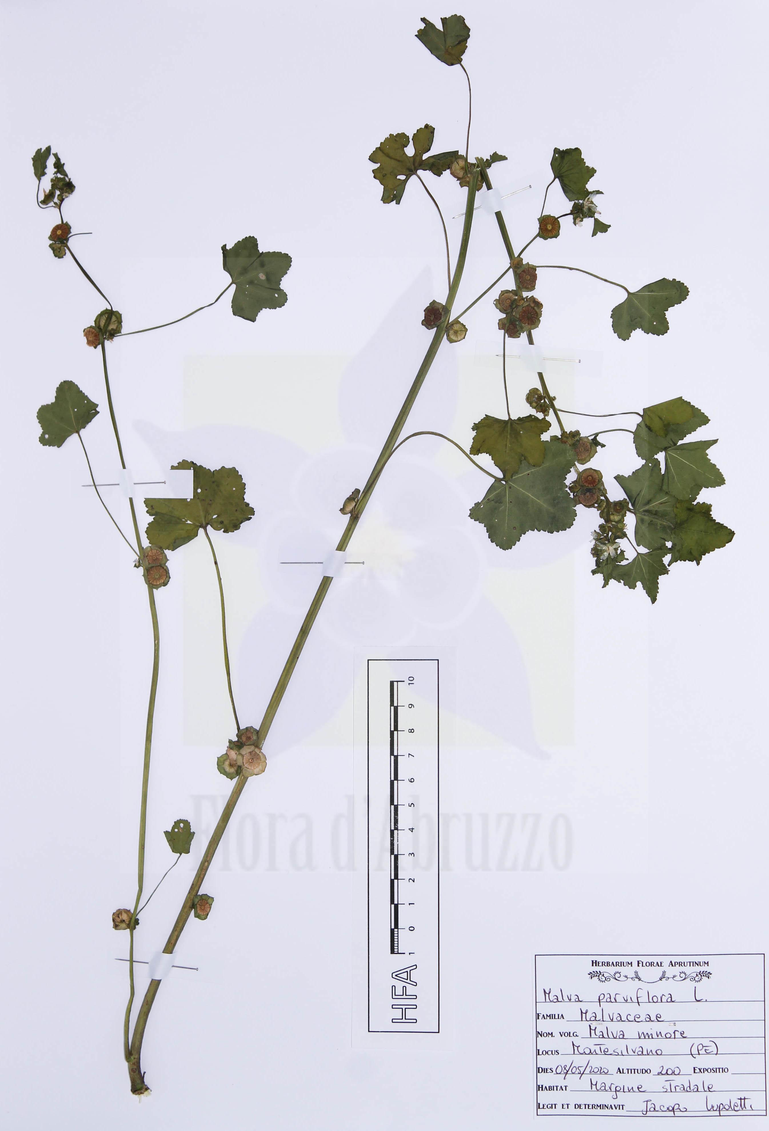 Malva parviflora L.