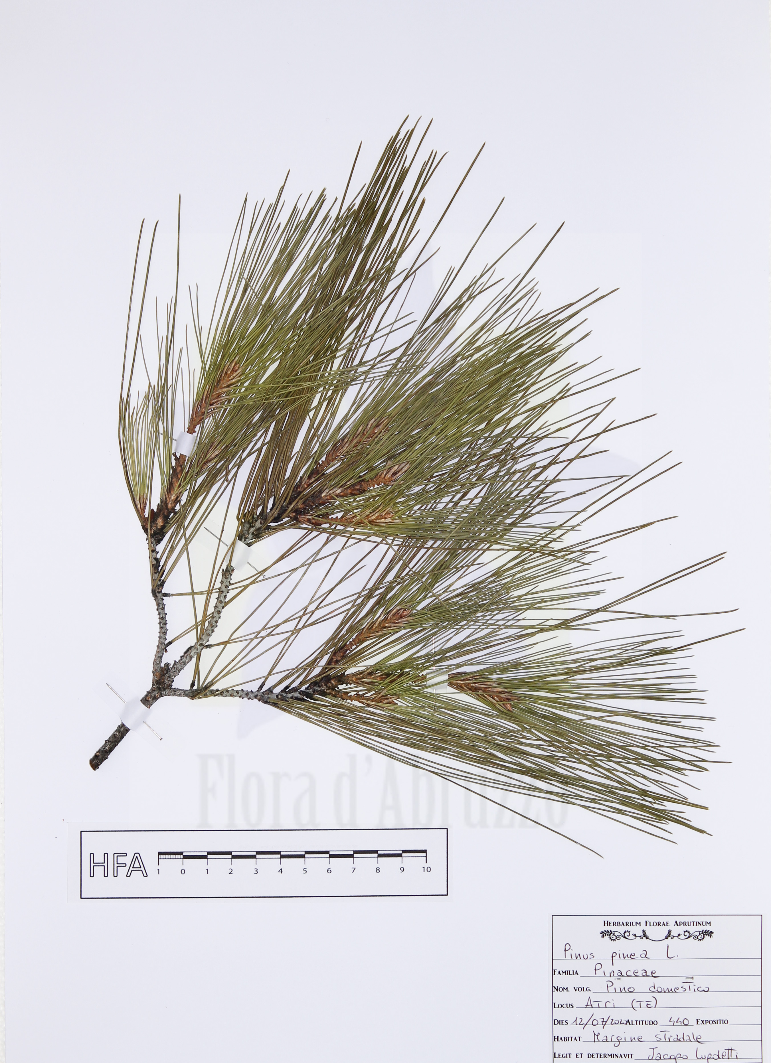 Pinus pineaL.
