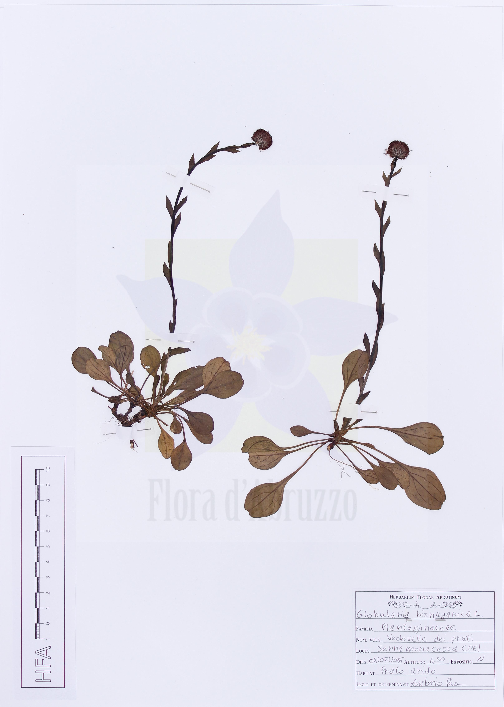 Globularia bisnagarica L.