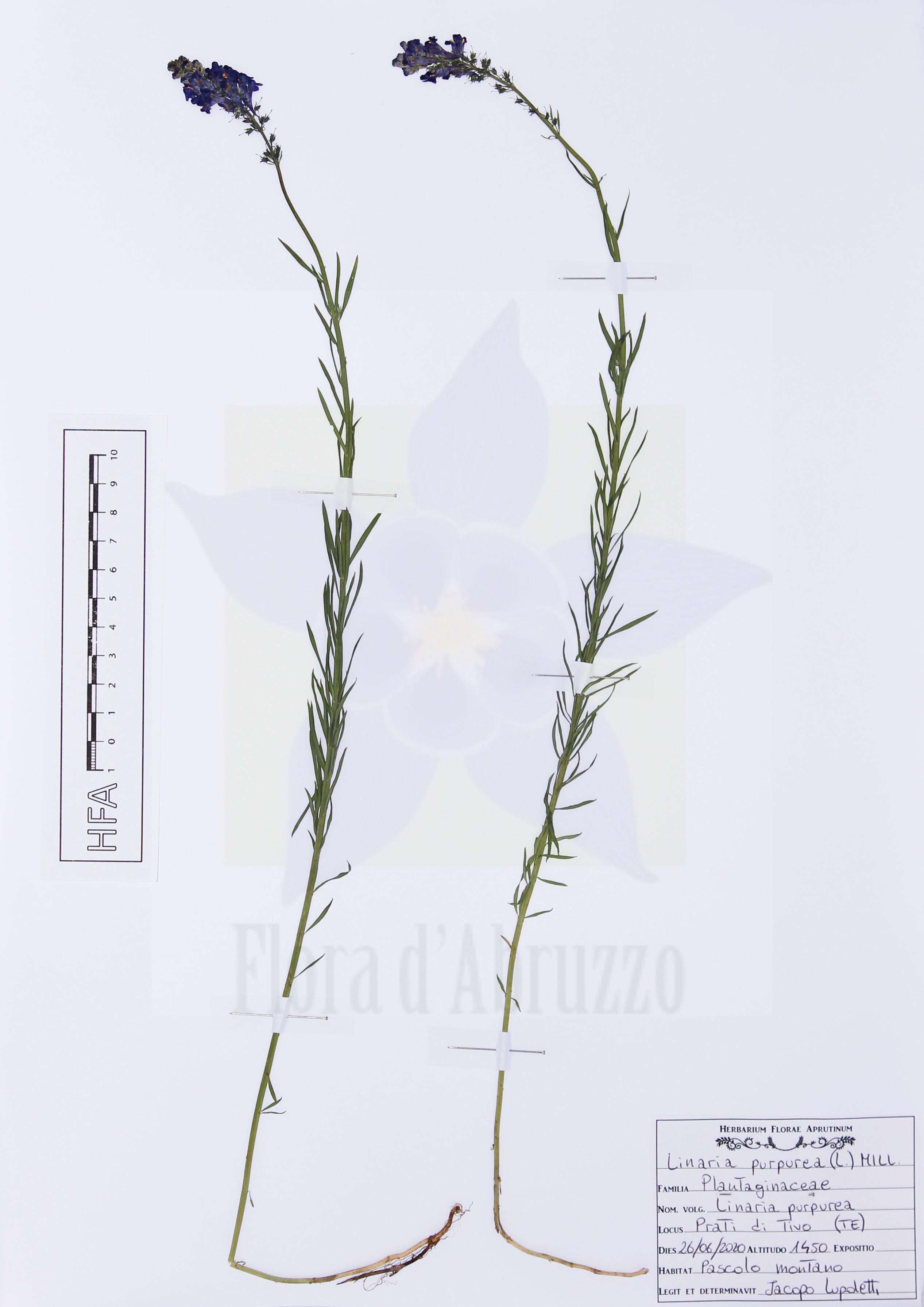 Linaria purpurea(L.) Mill.