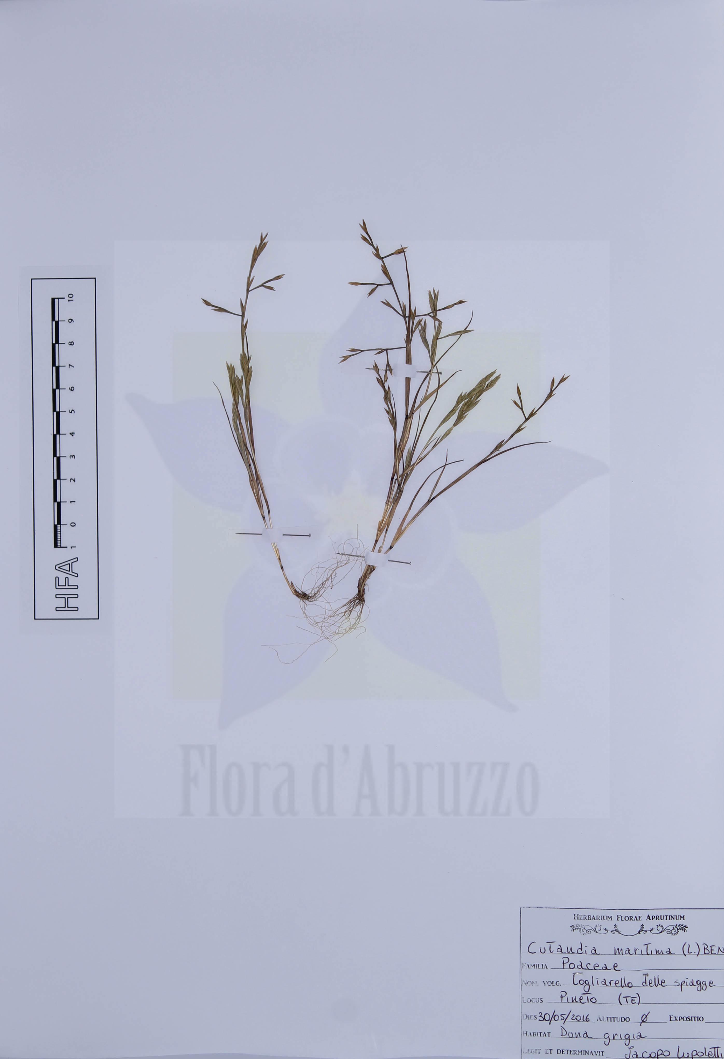 Cutandia maritima(L.) Benth. ex Barbey
