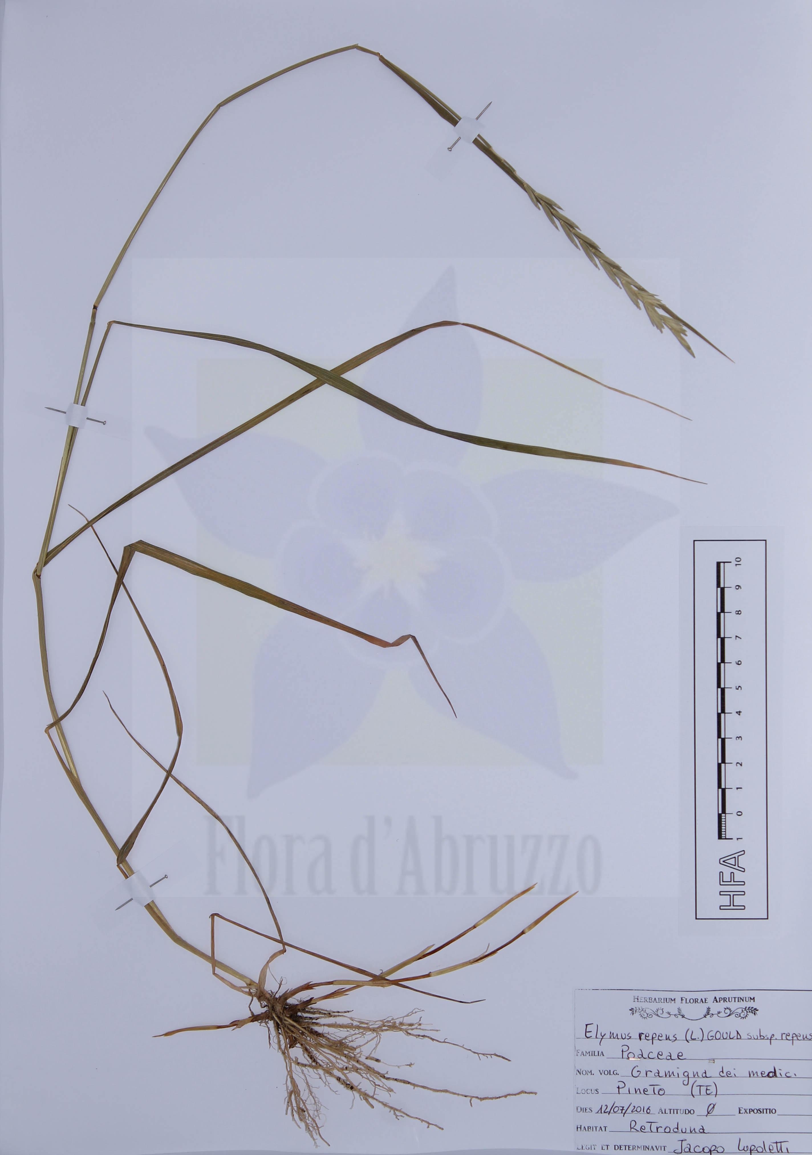 Elymus repens (L.) Gould subsp. repens