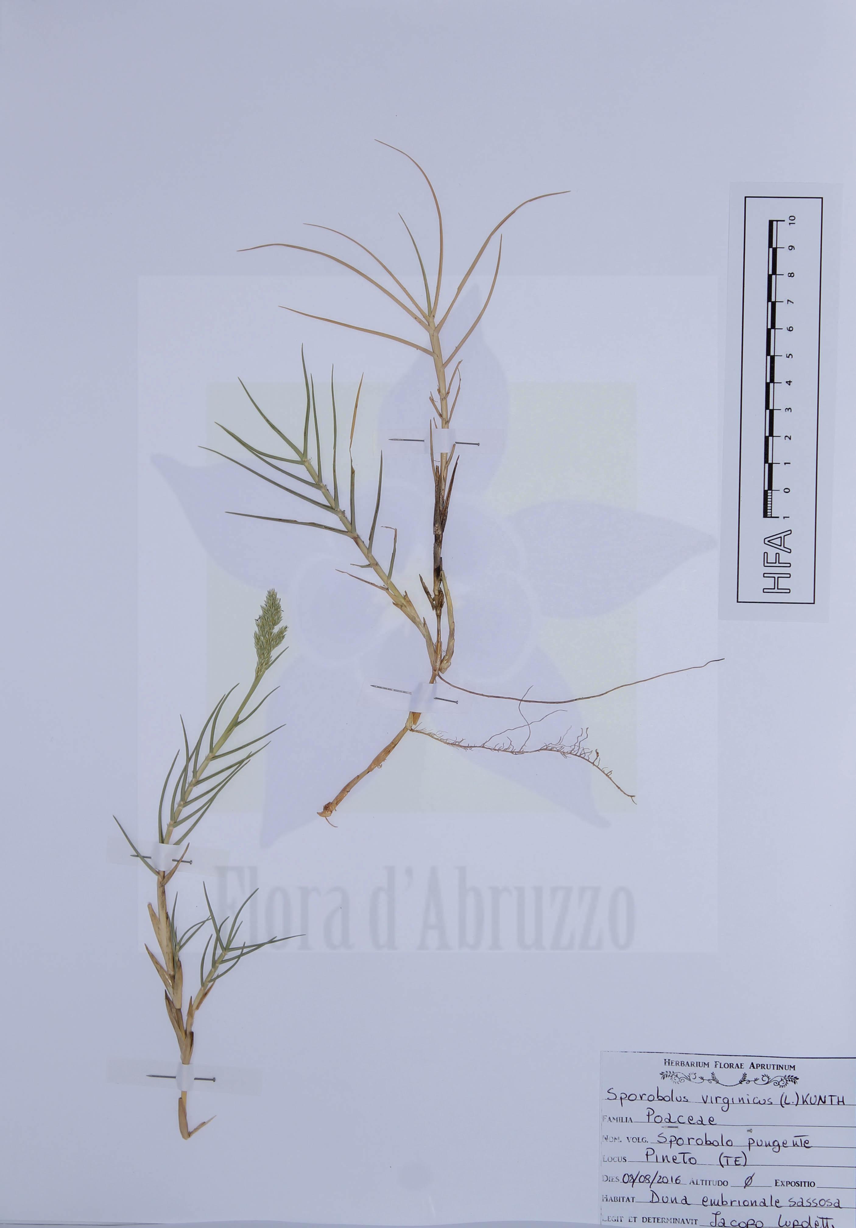 Sporobolus virginicus (L.) Kunth