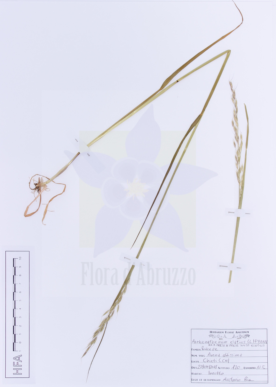 Arrhenatherum elatius(L.) P. Beauv. ex J. Presl & C. Presl subsp.elatius