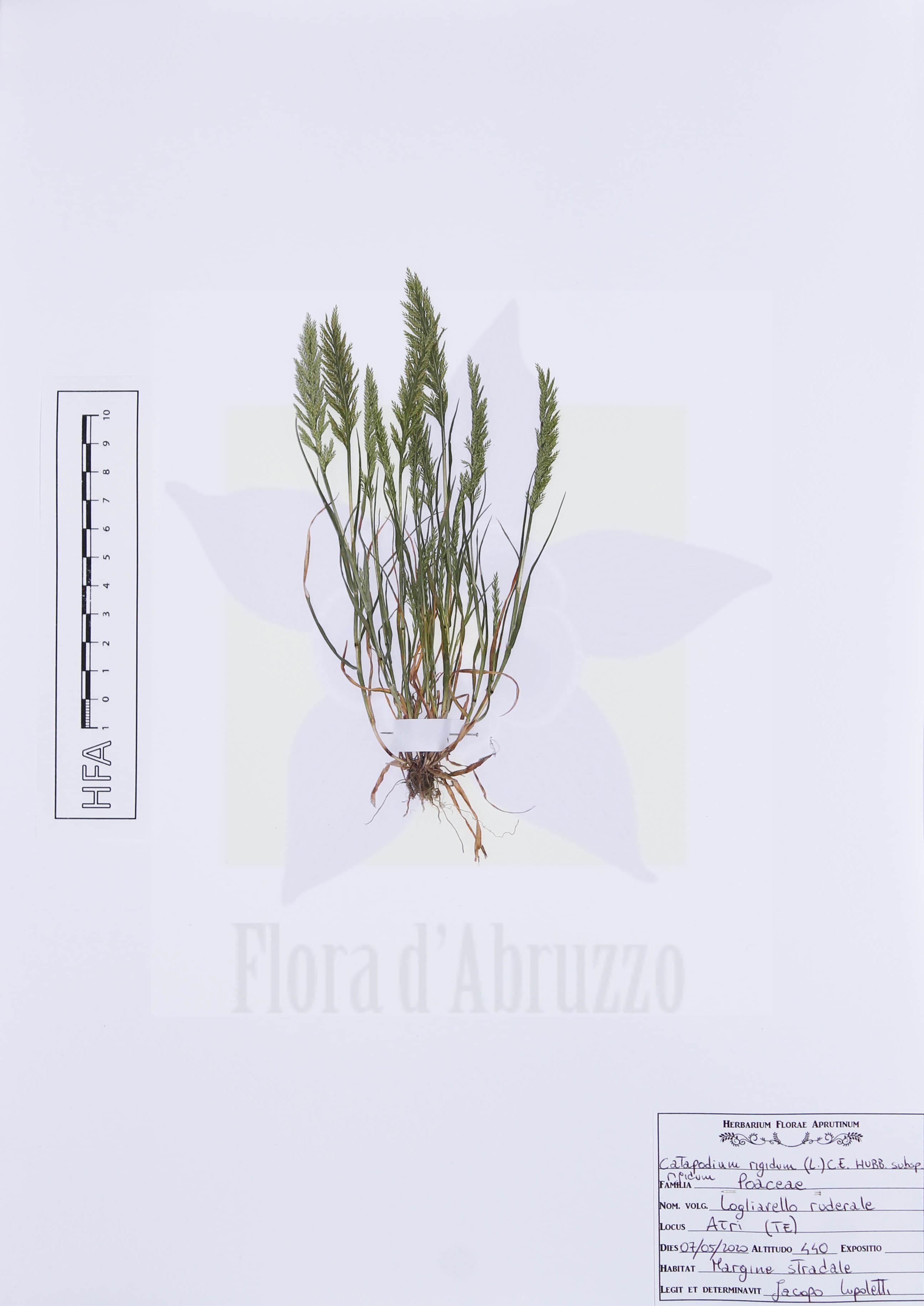 Catapodium rigidum(L.) C.E. Hubb. subsp.rigidum