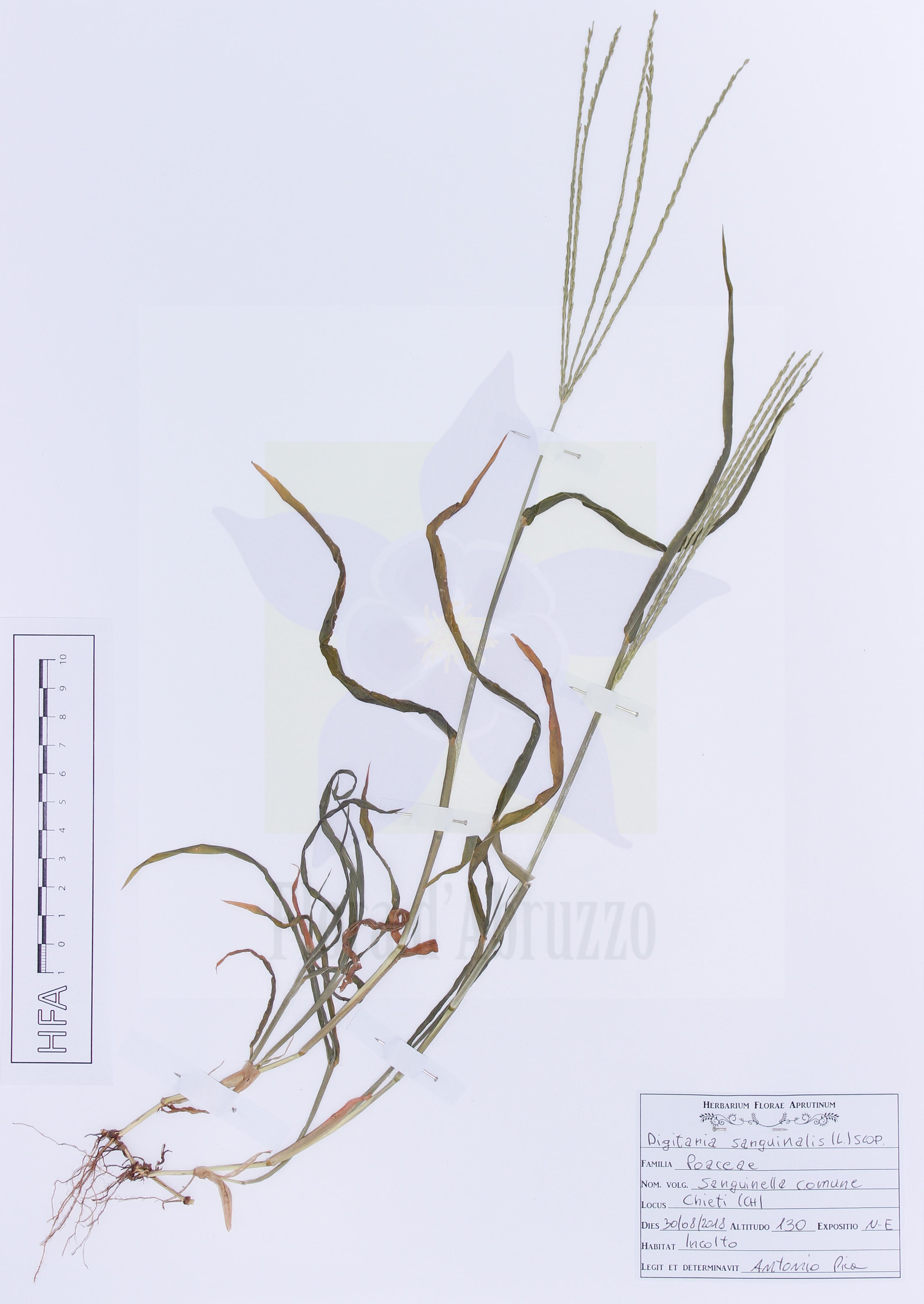 Digitaria sanguinalis(L.) Scop.