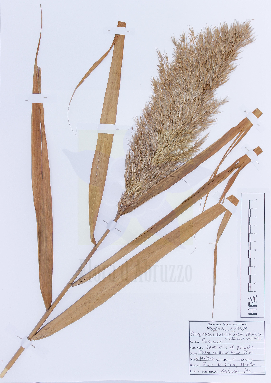 Phragmites australis(Cav.) Trin. ex Steud. subsp.australis