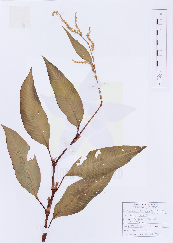 Persicaria lapathifolia(L.) Delarbre subsp.lapathifolia