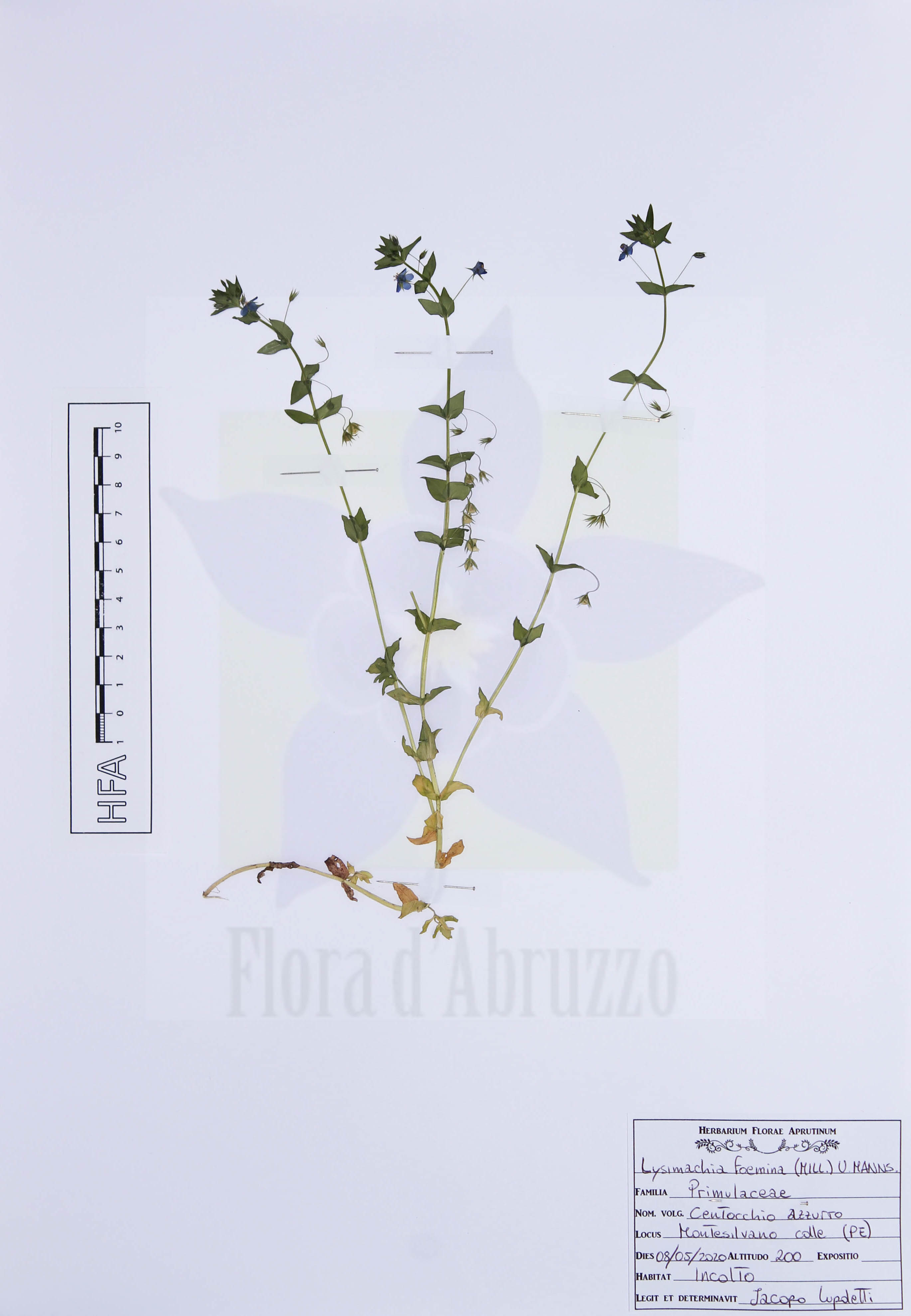 Lysimachia foemina(Mill.) U. Manns & Anderb.