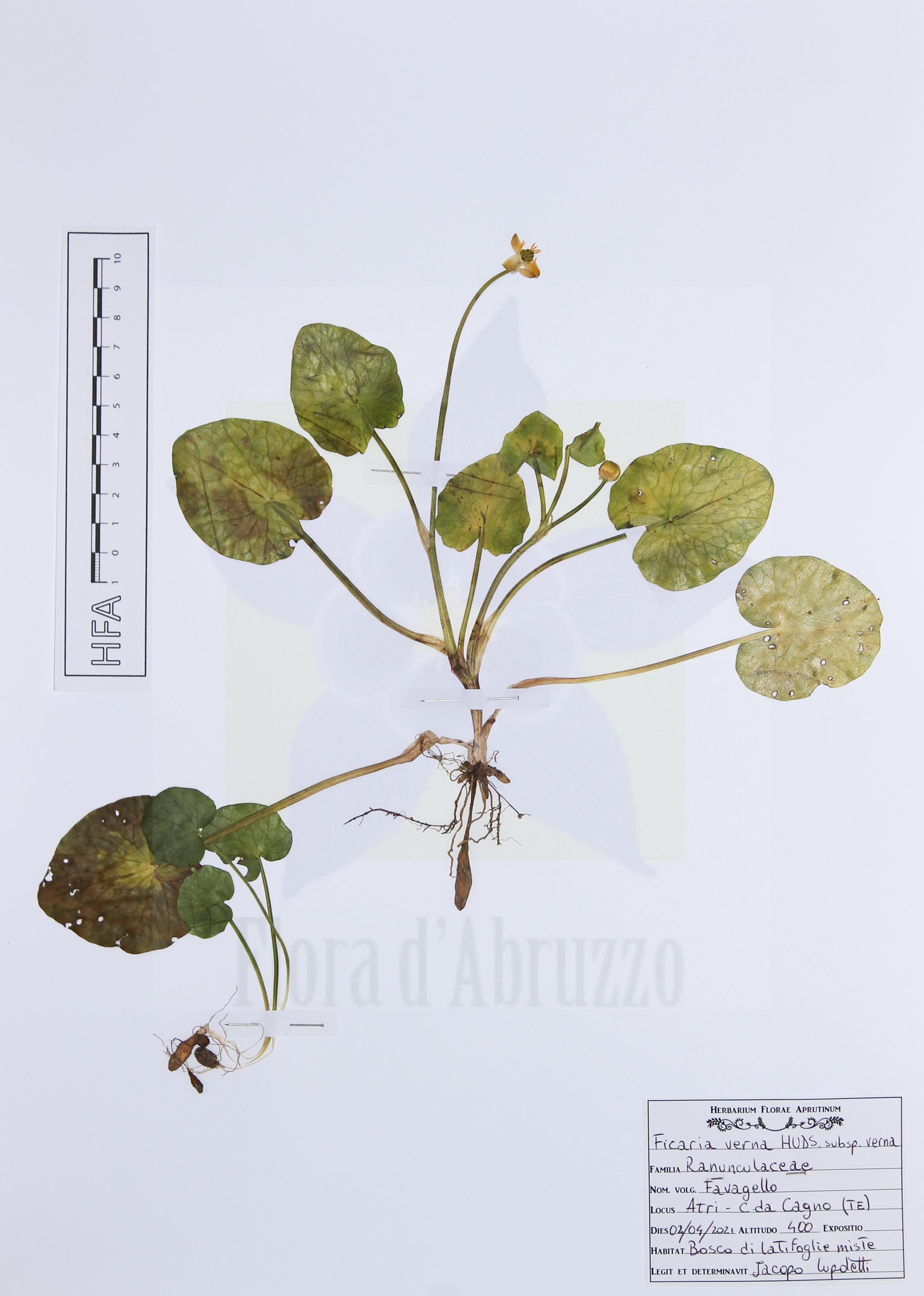 Ficaria verna Huds. subsp. verna